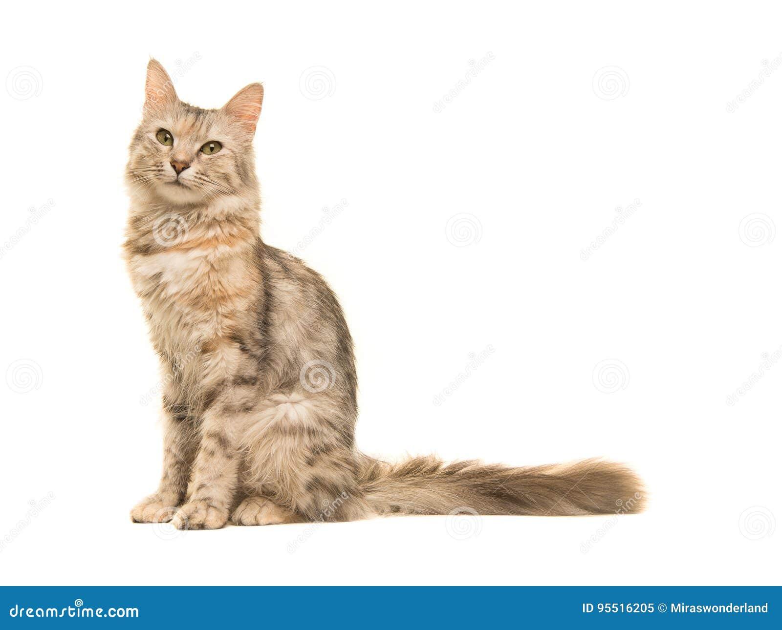 坐平纹土耳其安哥拉猫的猫看从边看见的照相机