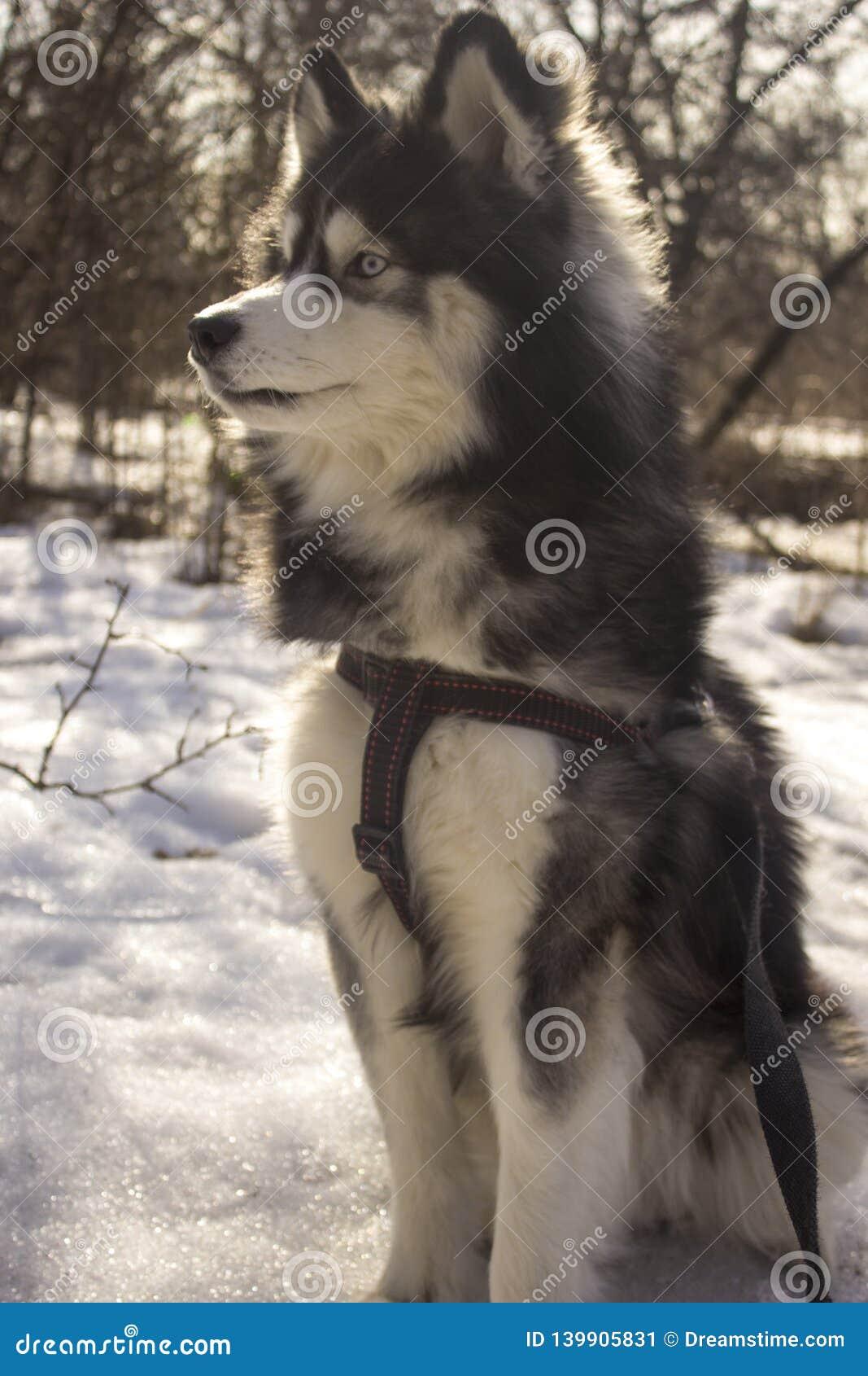 坐的西伯利亚爱斯基摩人狼狗在冬天森林里室外在雪