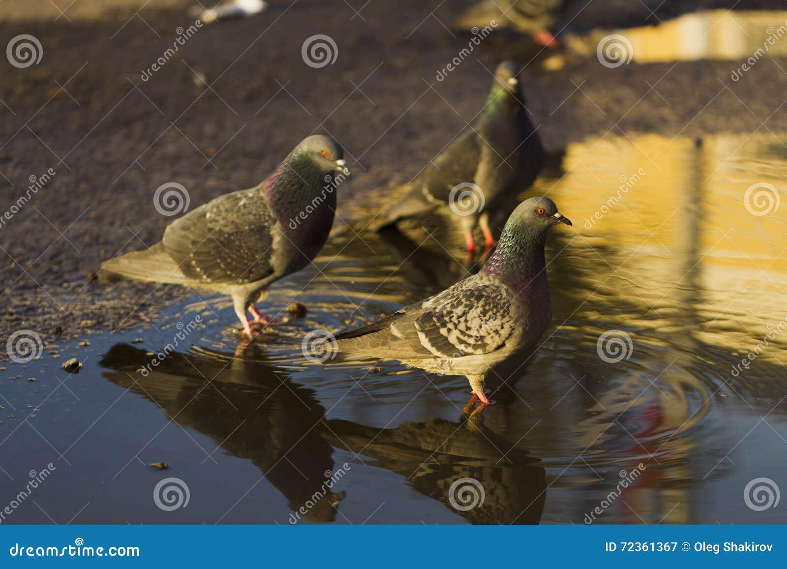 从水坑的鸽子饮用水,阳光