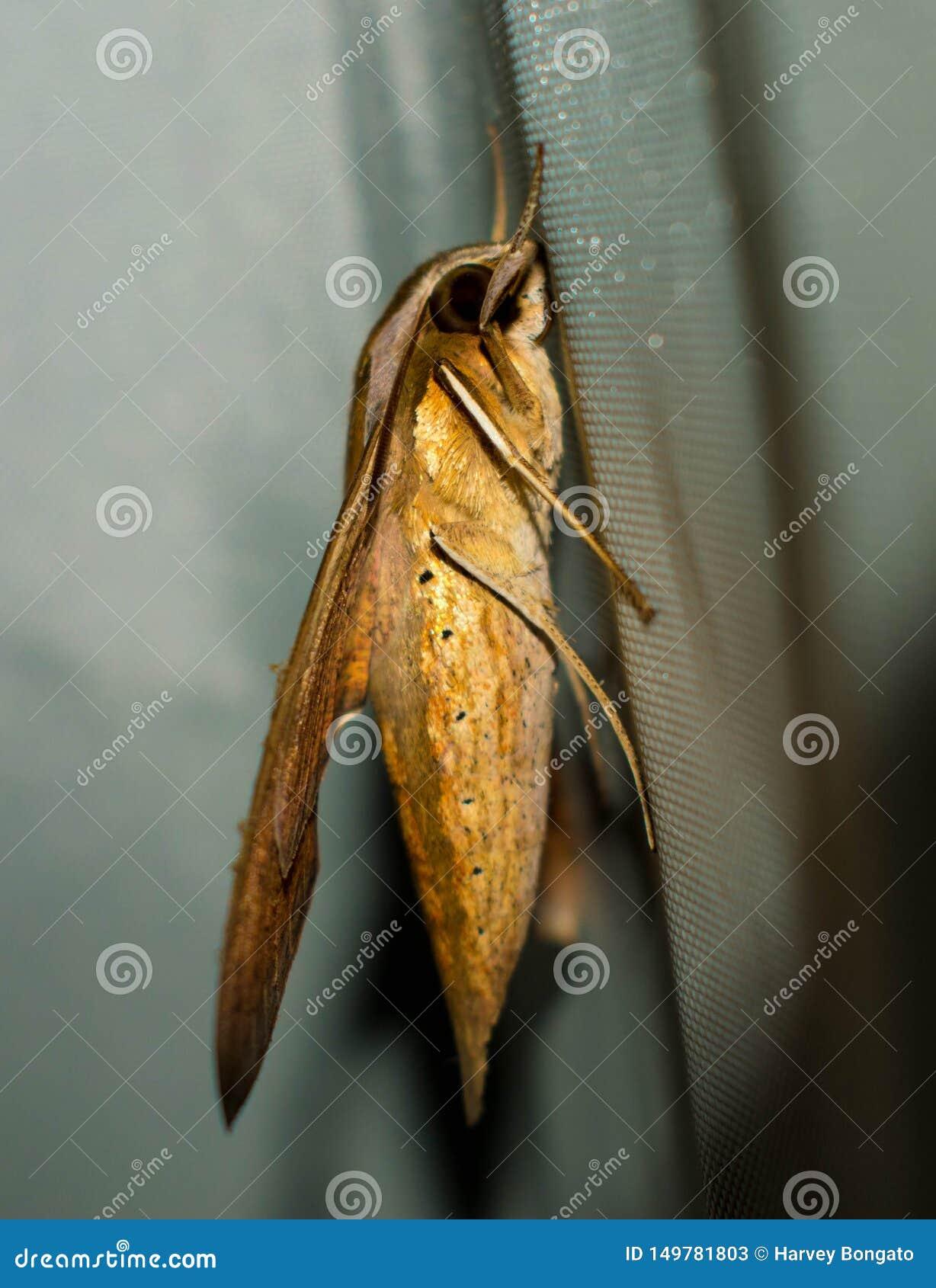坚持布料的一只大黄褐色飞蛾