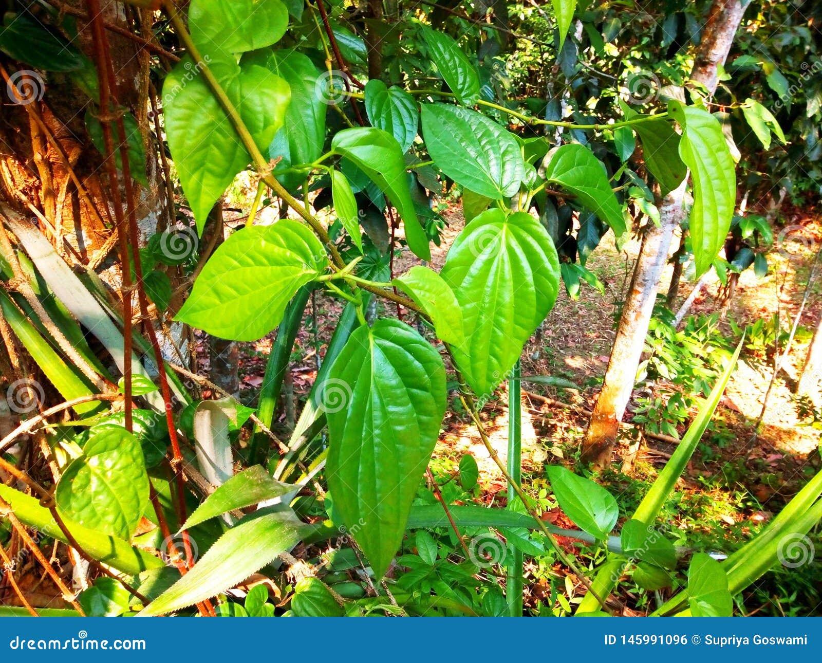 垂悬在分支的Paan叶子
