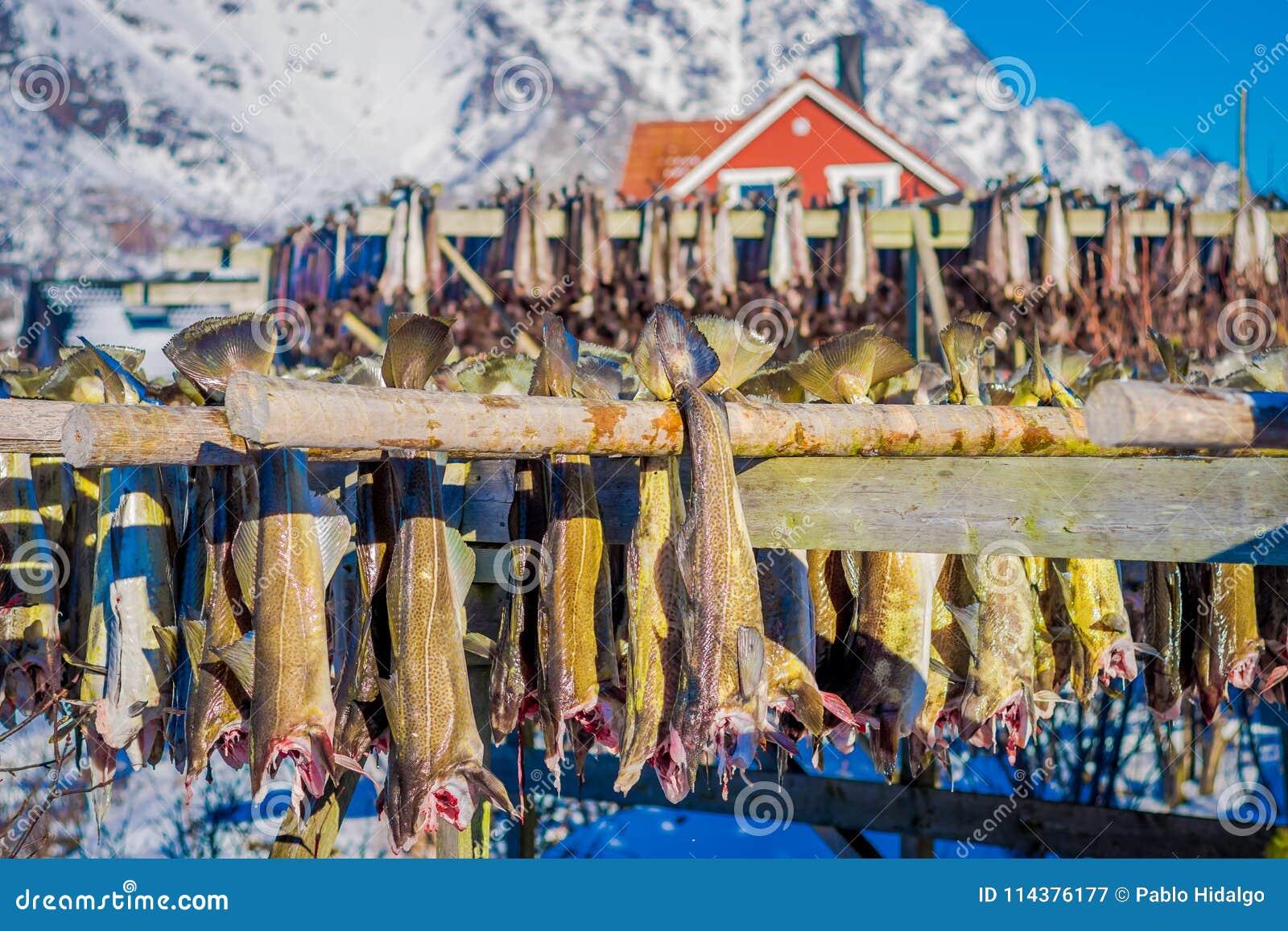 垂悬在干鱼鳕鱼干燥中的过程的室外观点的鲜鱼在Lofoten海岛上的冬时