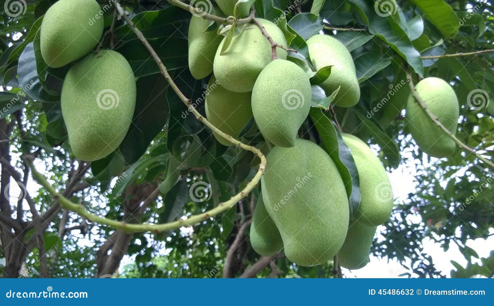 垂悬在树的芒果