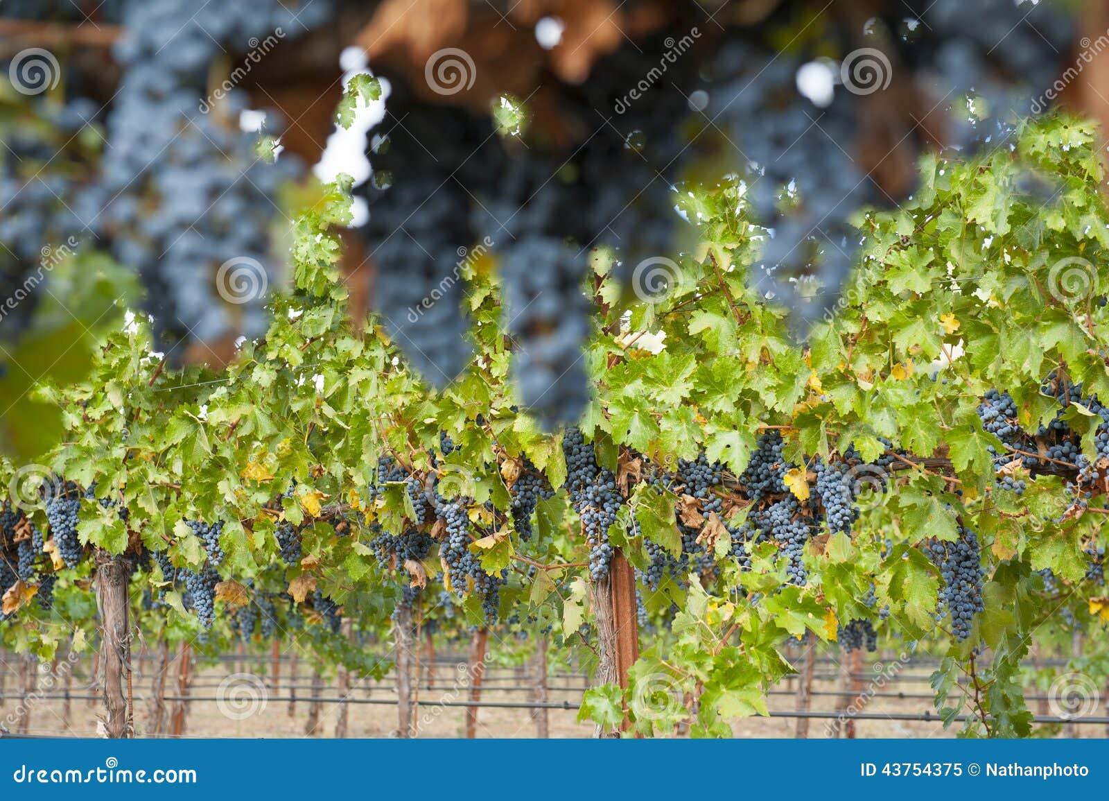 垂悬的有机葡萄酒,加利福尼亚