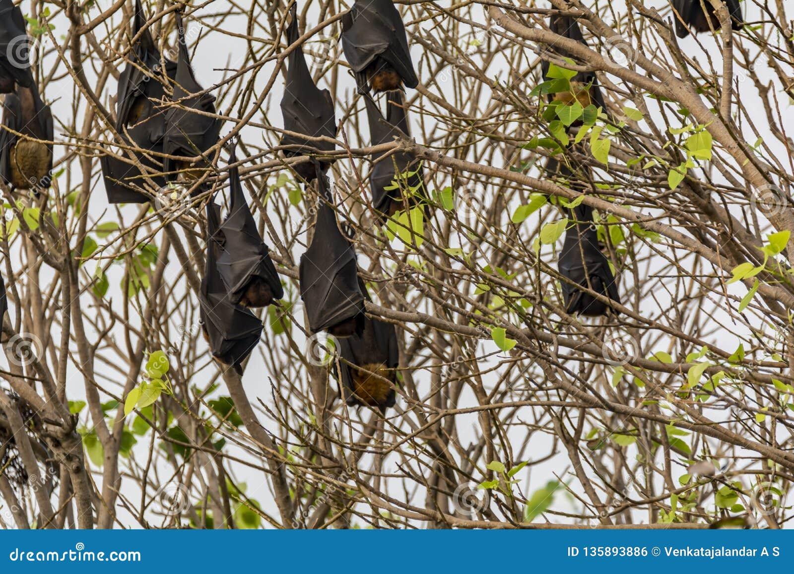 垂悬颠倒在树的果实蝙蝠