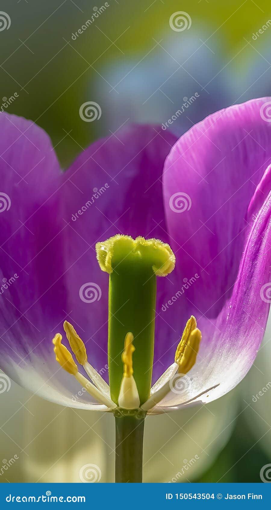 垂直的关闭紫色郁金香有它的生殖器看法