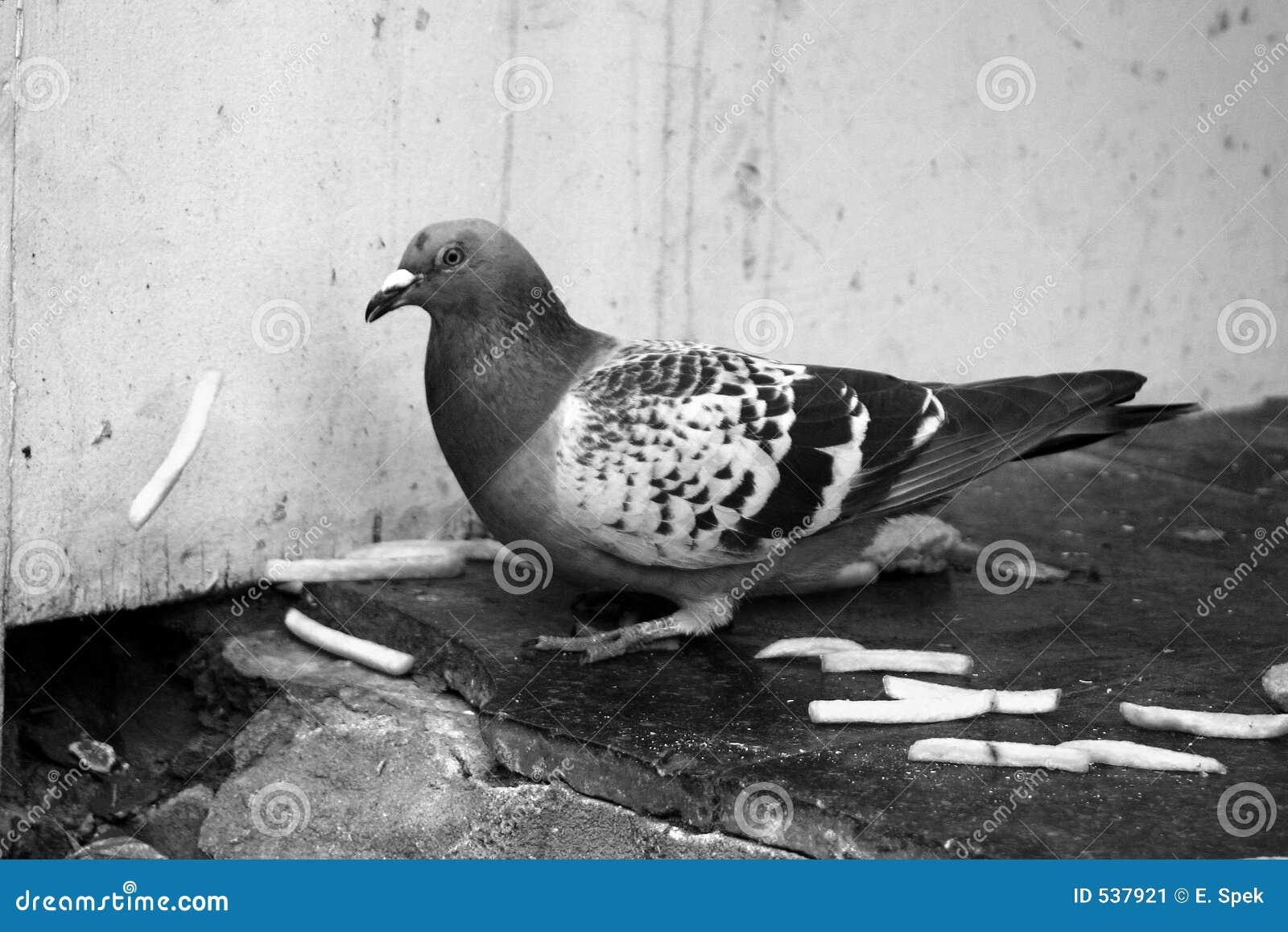 Download 城市鸽子 库存图片. 图片 包括有 双翼飞机, 空白, 羽毛, 食物, 灰色, 城市, 鸽子, 投反对票, 重婚 - 537921