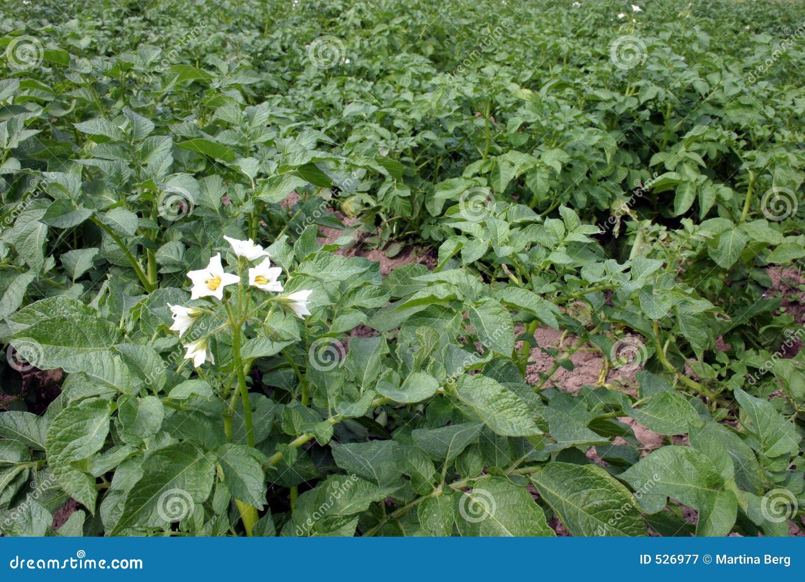 Download 域土豆 库存图片. 图片 包括有 地球, 食物, 种田, 农场, 土豆, 有用, 推车, 耕种, 问题的, 绽放 - 526977
