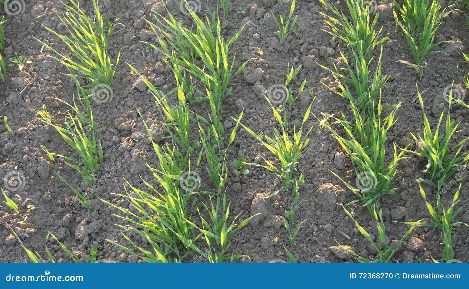 域幼木春小麦