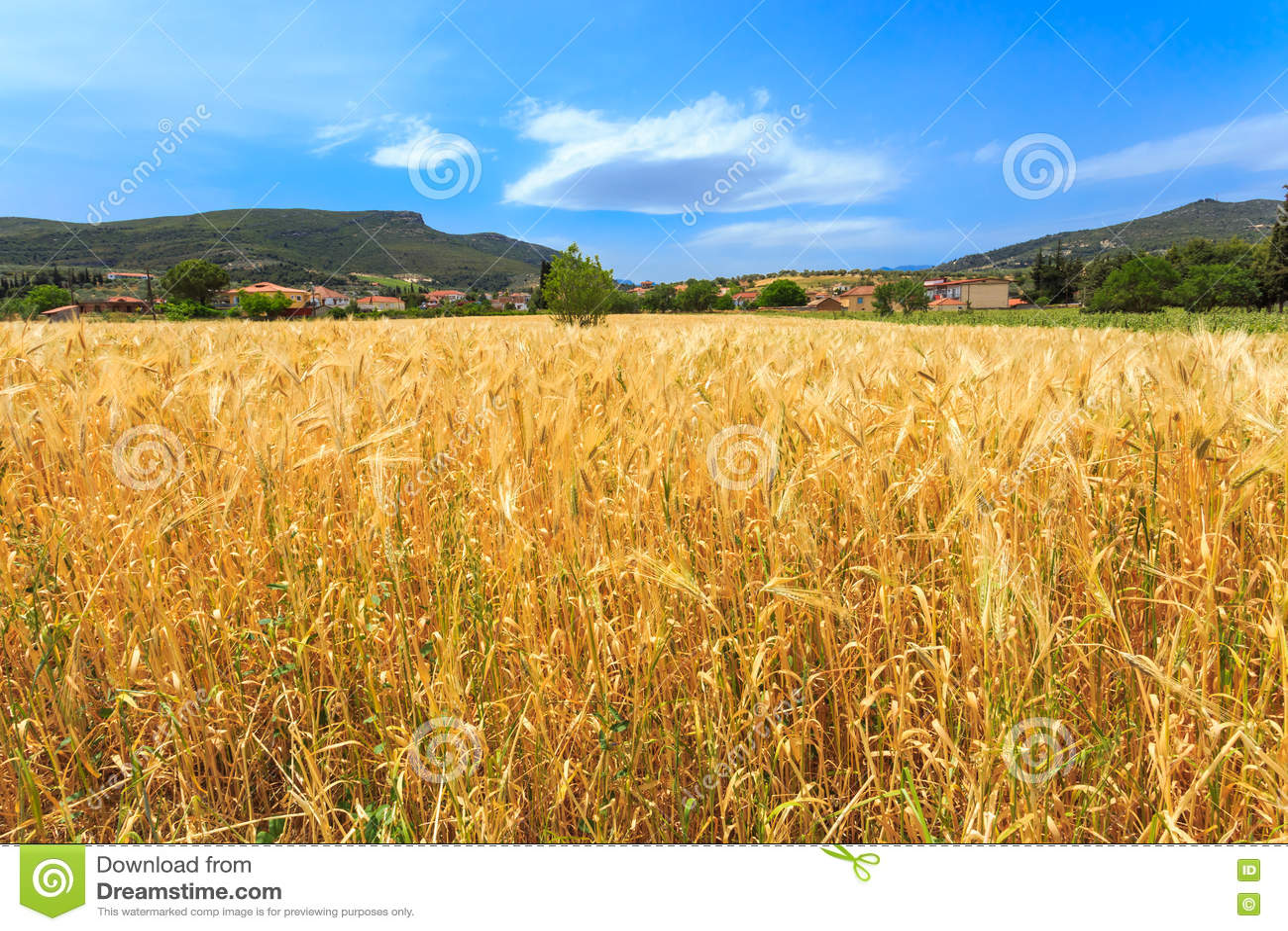 域成熟麦子