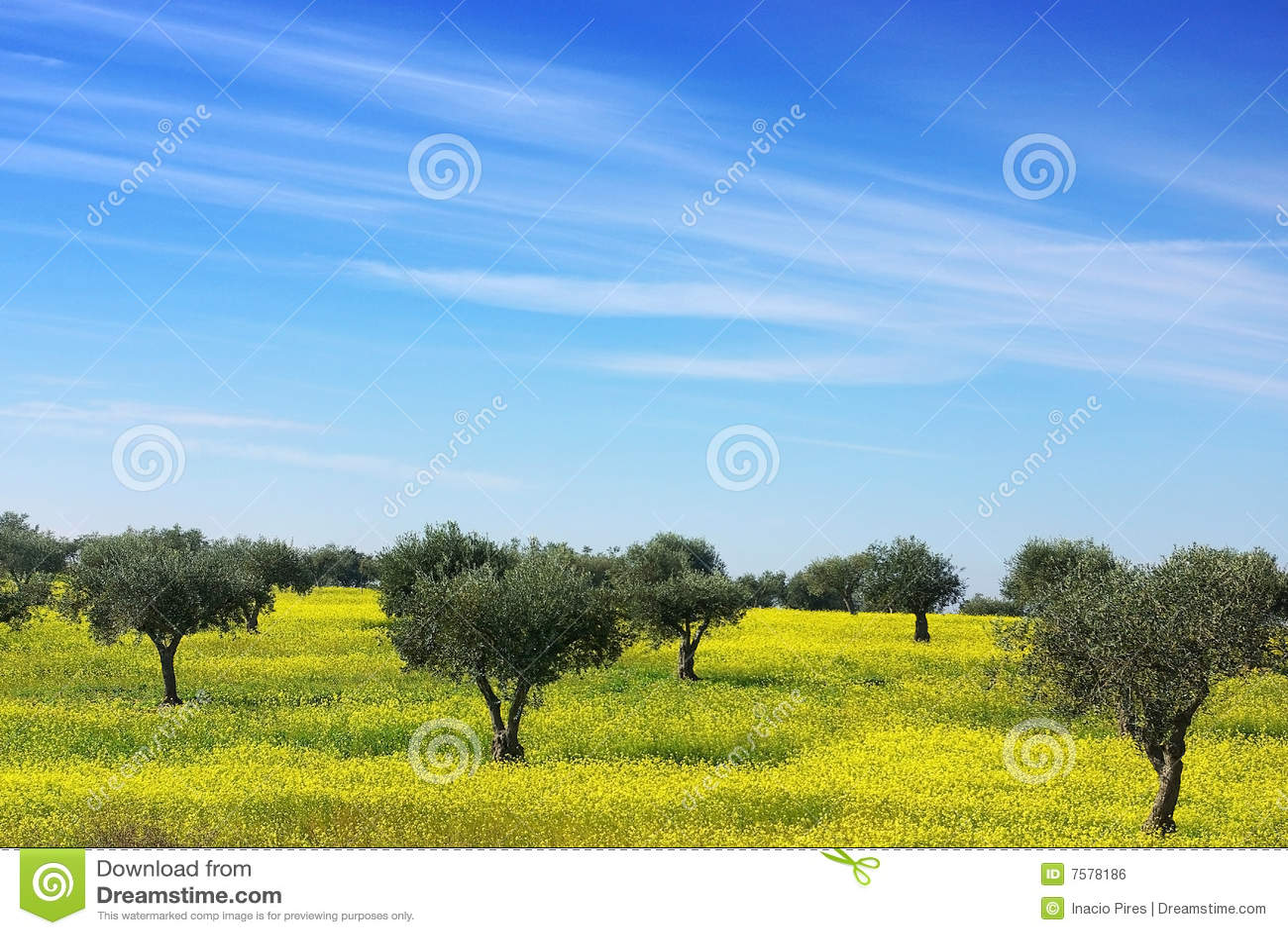 域橄榄树黄色