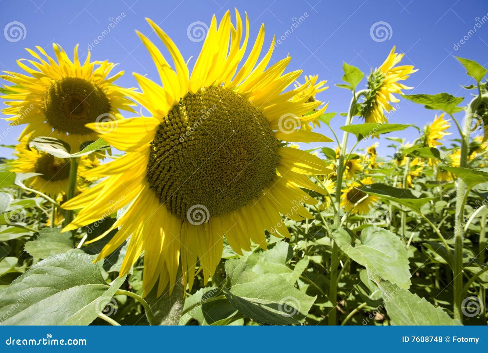 域生长向日葵