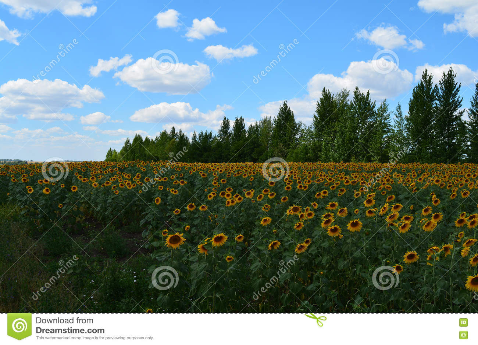 域用向日葵
