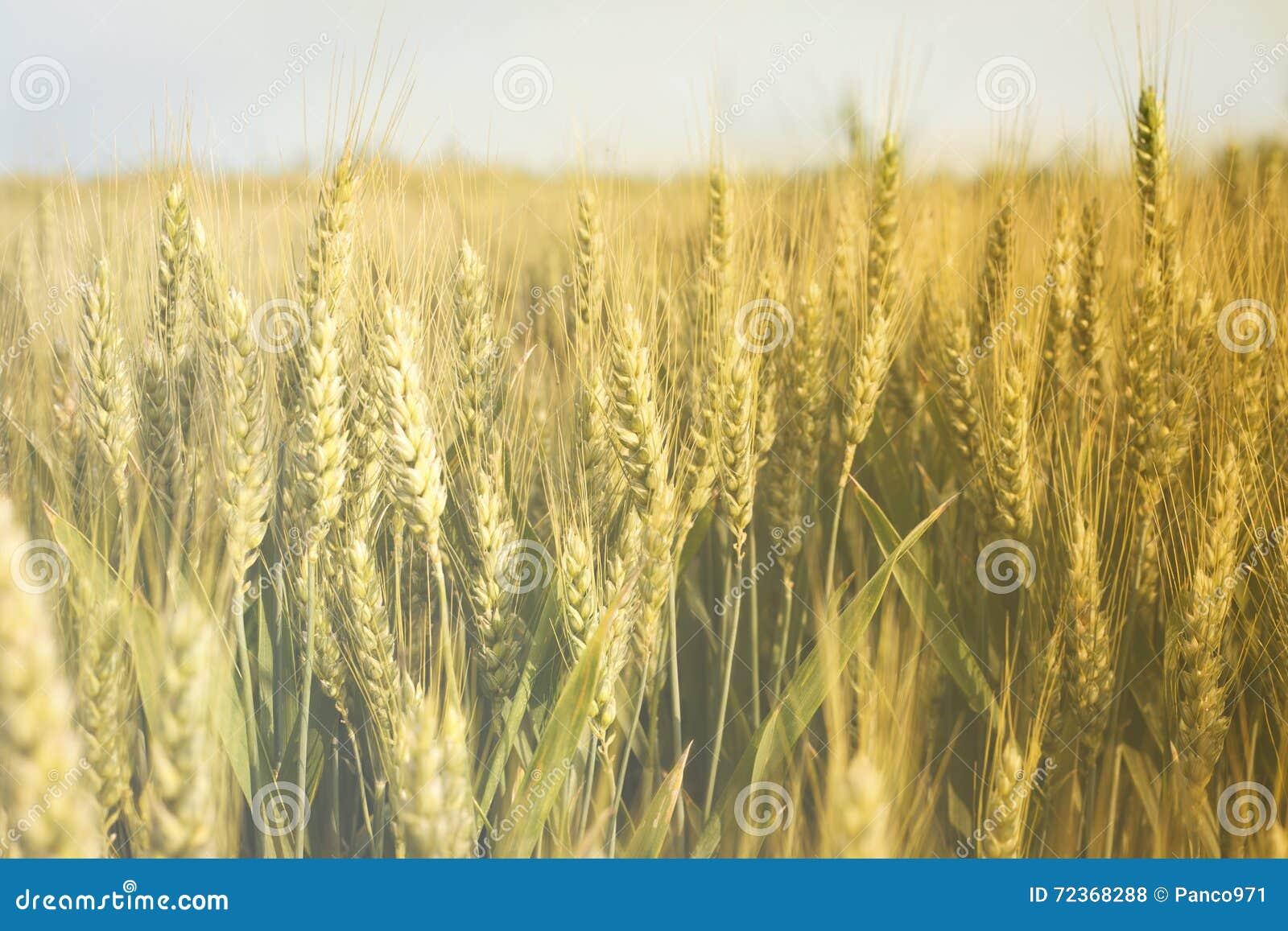 域晴朗的麦子