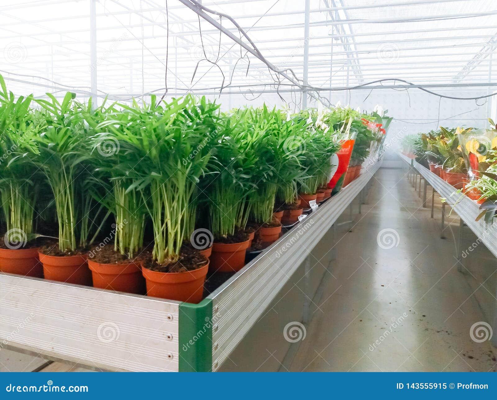 培养的装饰花卉生长在商业plactic箔包括园艺温室