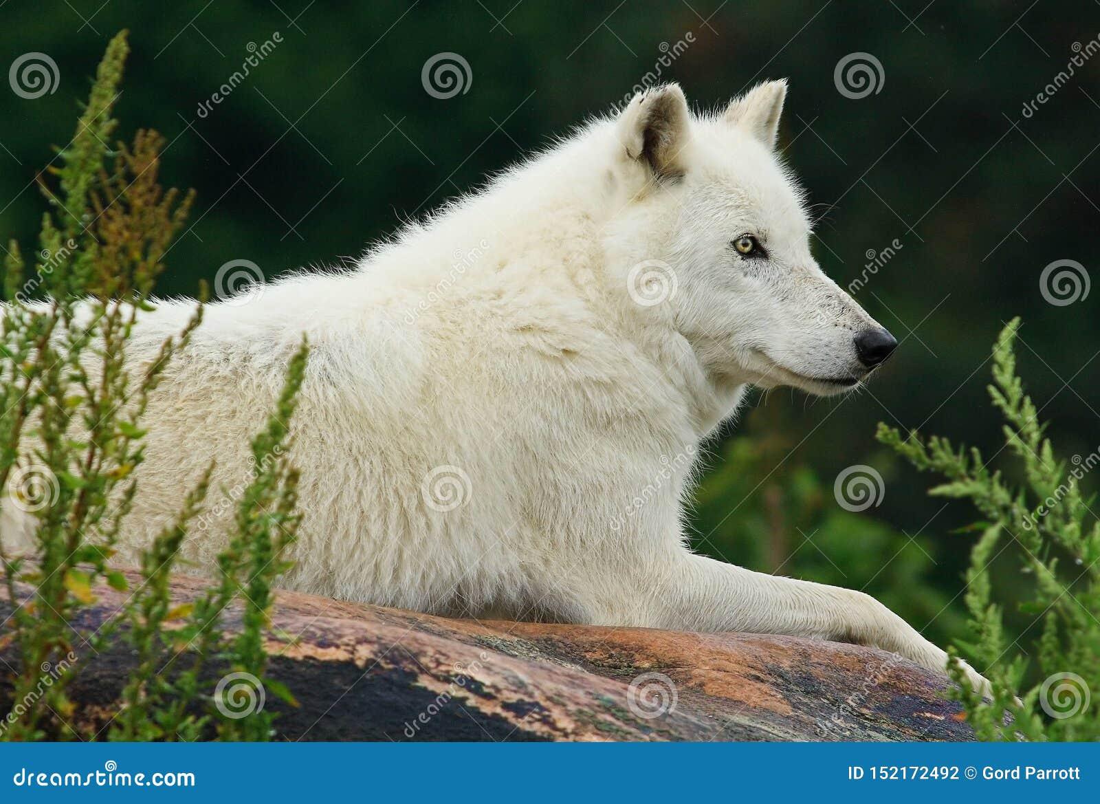 基于岩石的北极狼