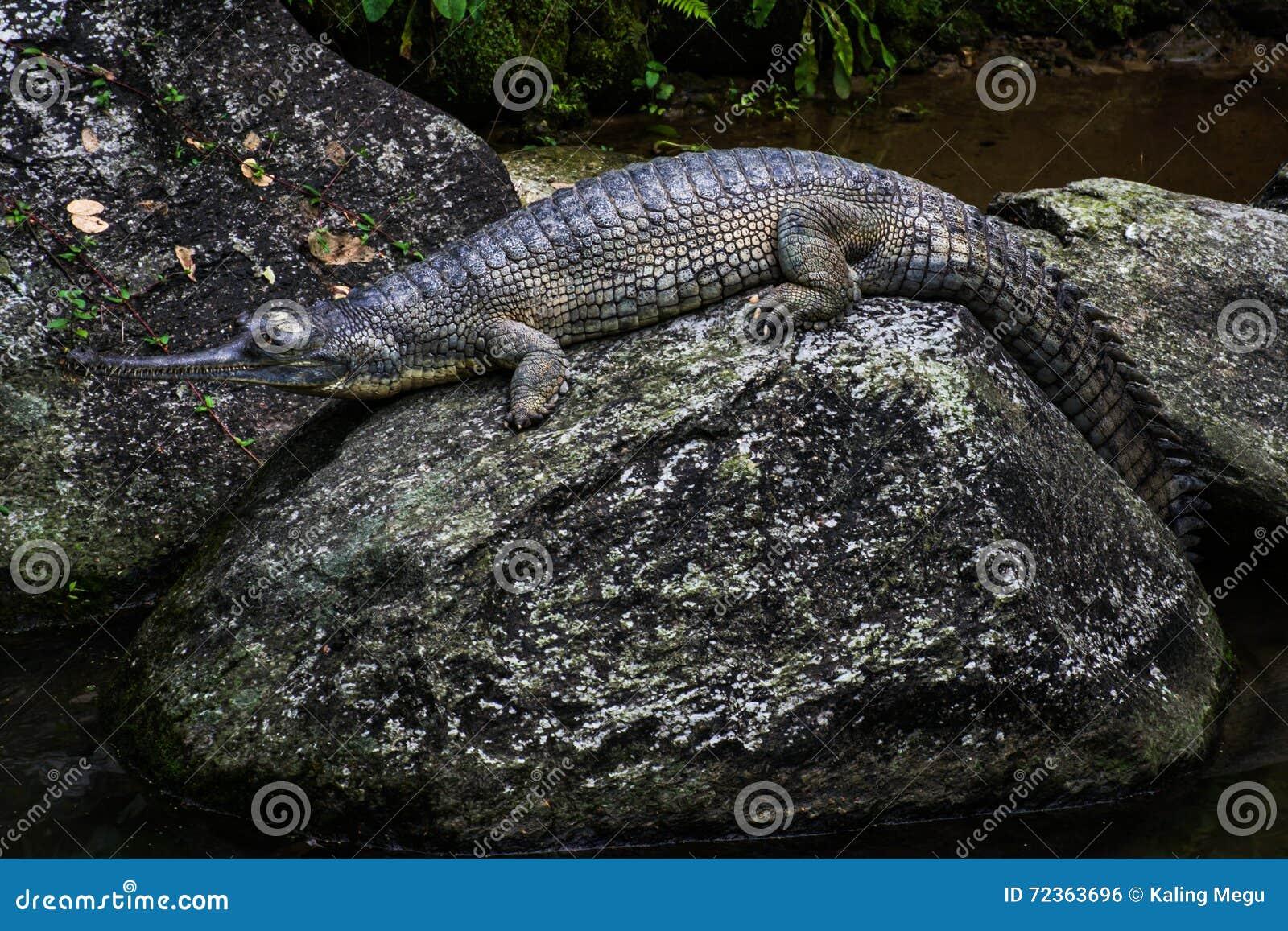 基于岩石的印地安鳄鱼