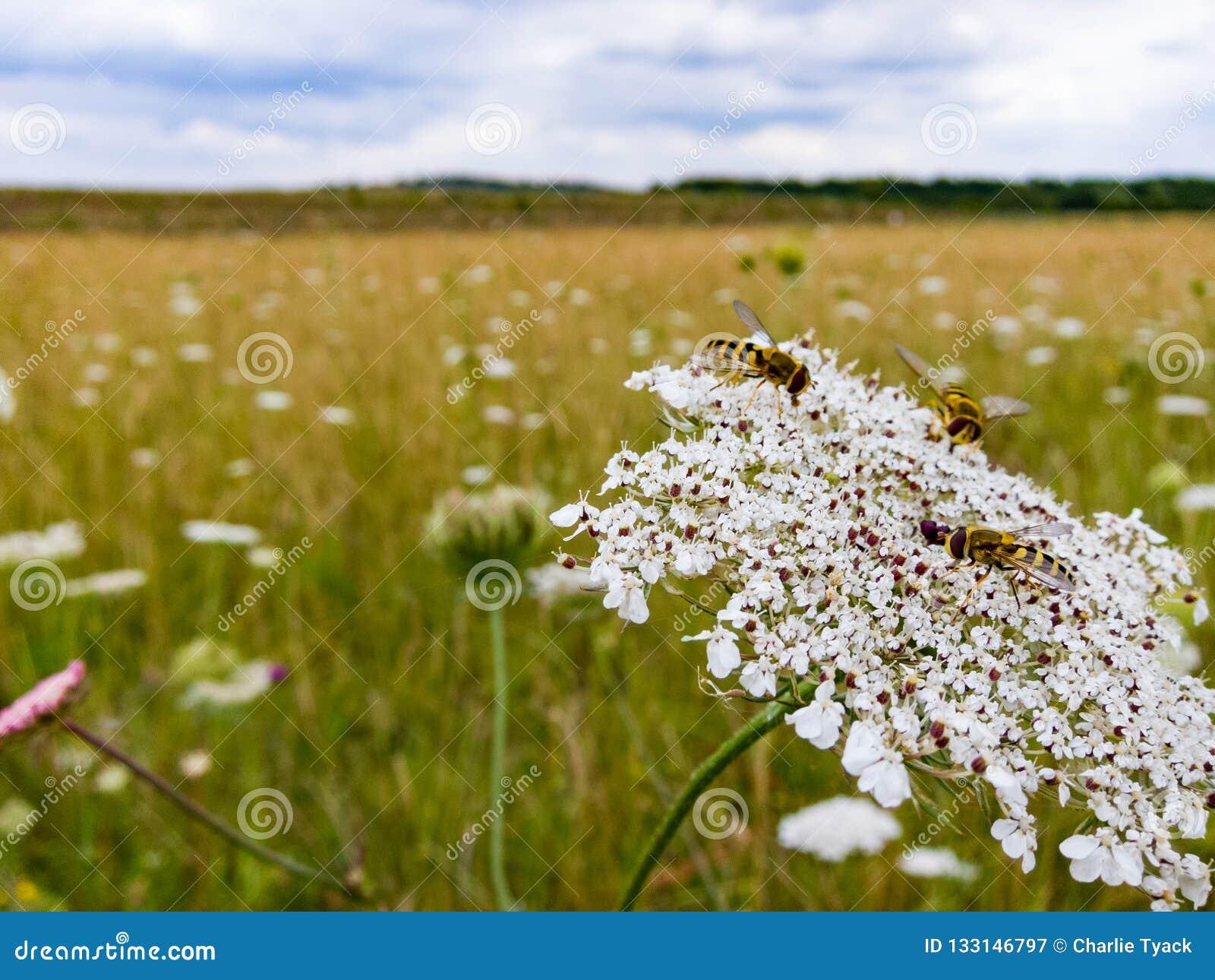 基于野胡萝卜花的Hoverflies在英国草甸