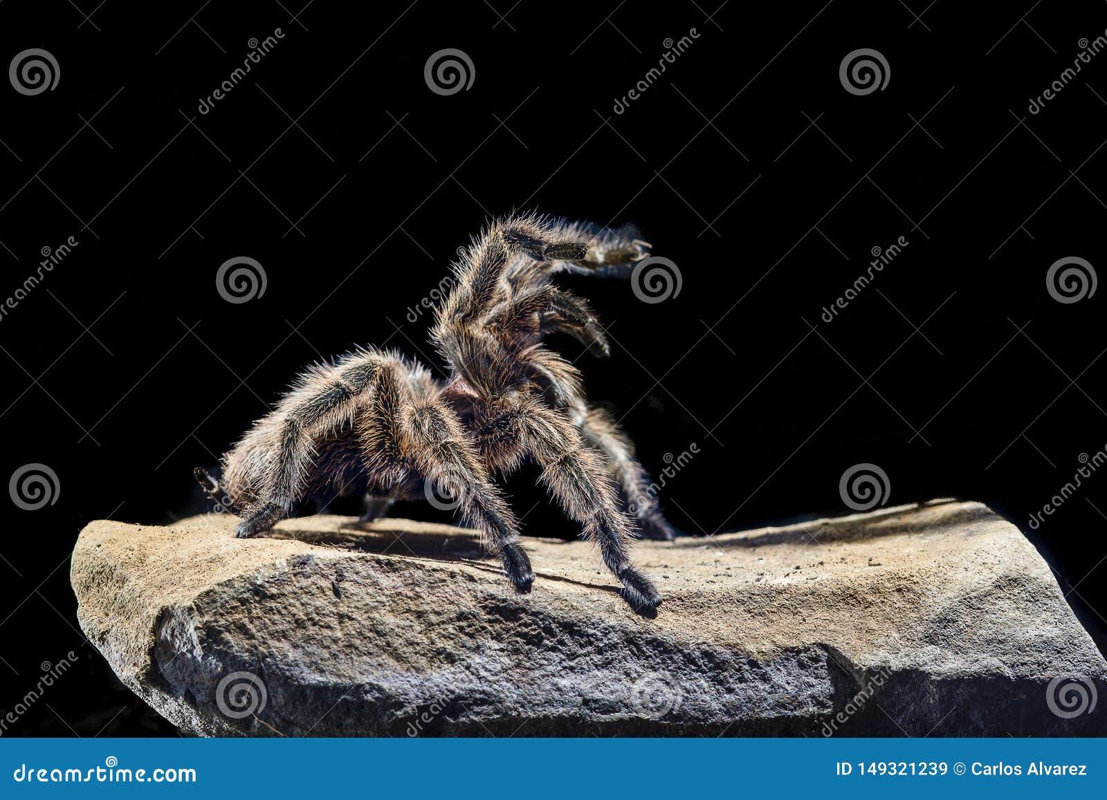 塔兰图拉毒蛛chilena rosada en una roca