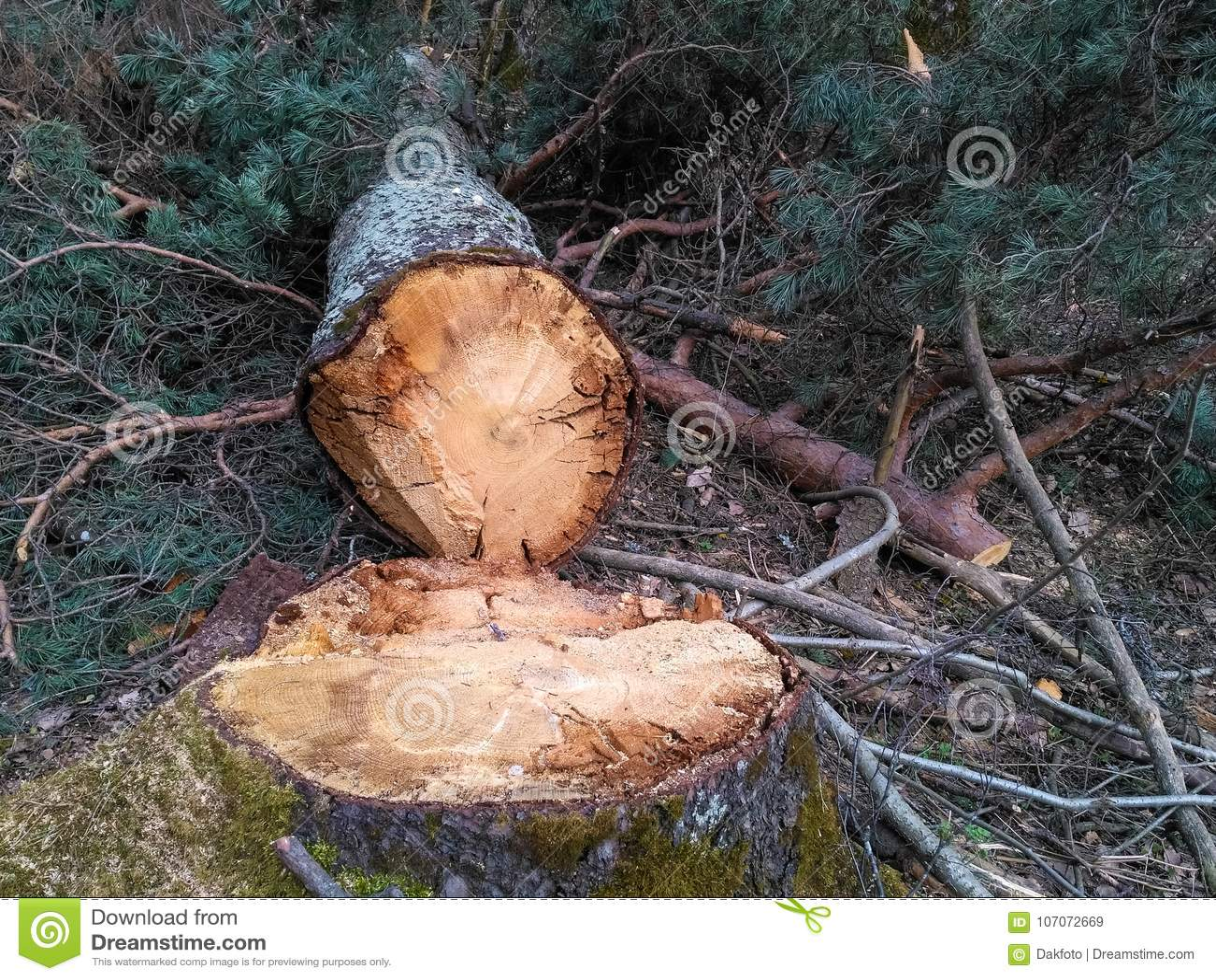 塔林,爱沙尼亚, 2017年4月4日-裁减公园树在城市 爱沙尼亚的首都是非常绿色的