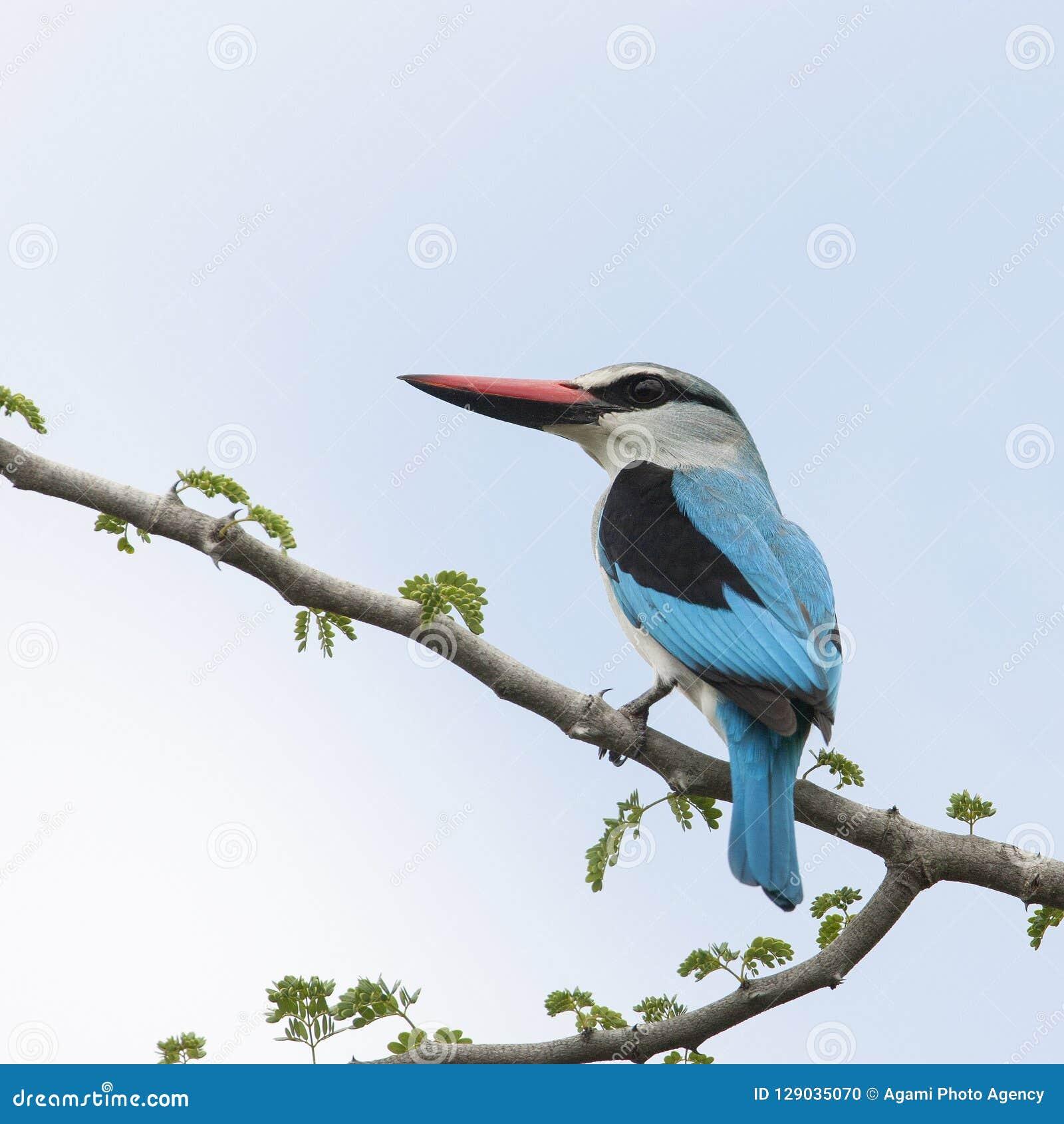 塞内加尔IJsvogel,森林地翠鸟,太平senegalensis