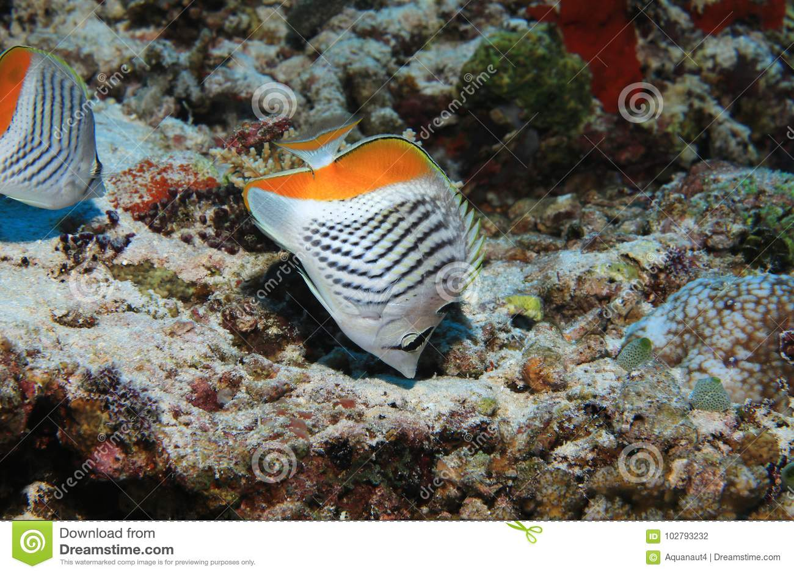 塞舌尔群岛蝴蝶鱼