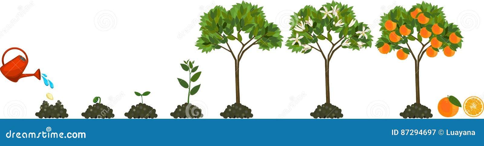 增长到从种子的植物到橙树 生命周期植物