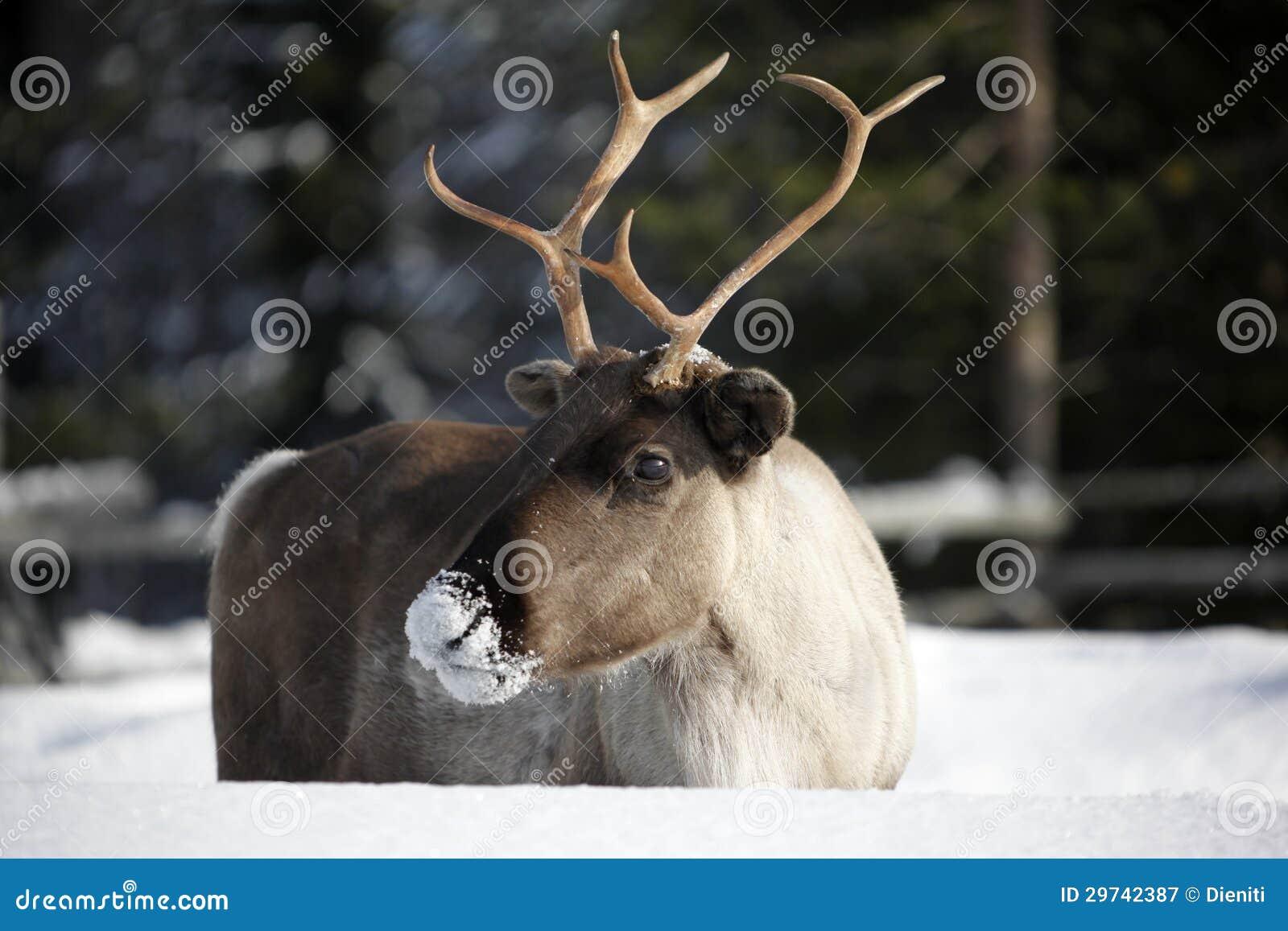 驯鹿/驯鹿属tarandus在冬天