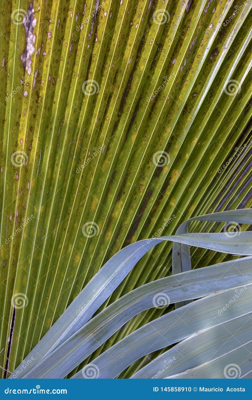墨西哥棕榈树叶子细节