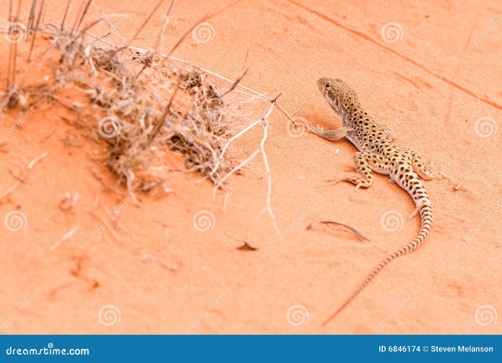 壁虎蜥蜴红色连续沙子