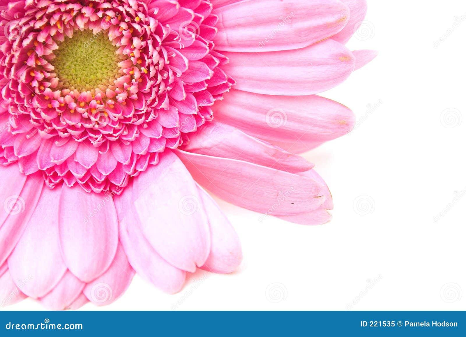 壁角百日菊属
