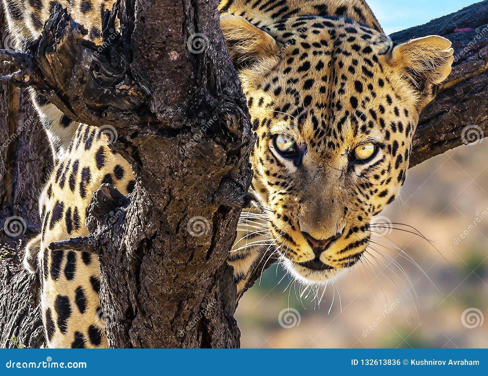 壮观的豹子爬一棵大树