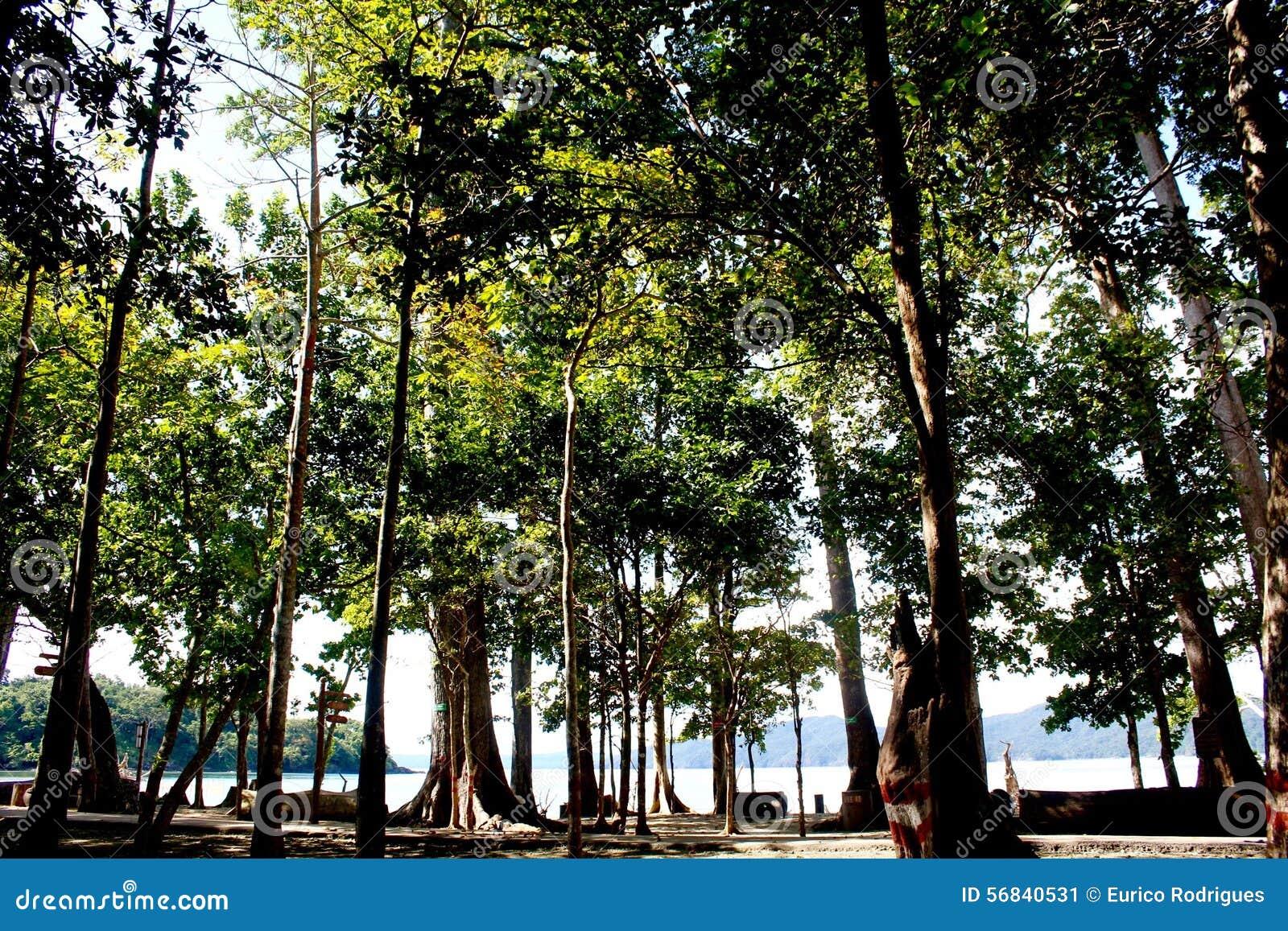 壮观的150只脚树- Radhanagar海滩的, Havelock海岛,安达曼群岛,印度海Mohwa