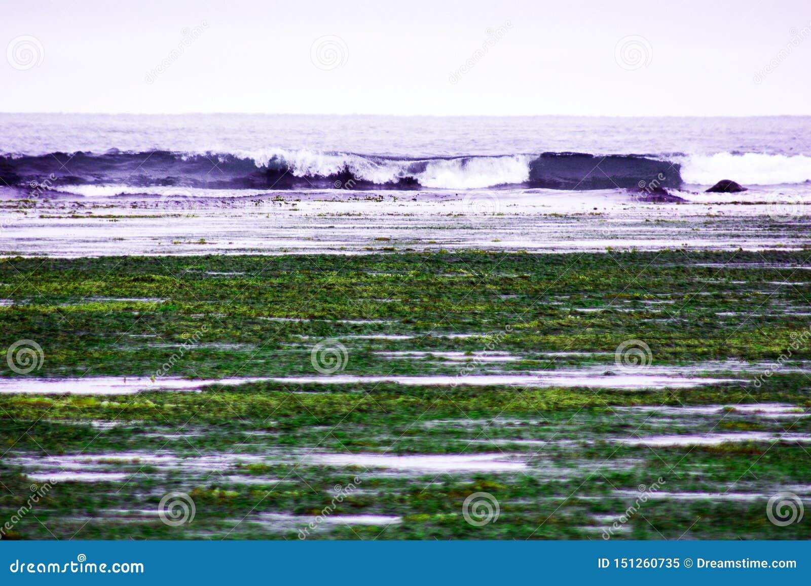 处于低潮中在海湾,在海岸海藻和海甘蓝被投掷,波浪