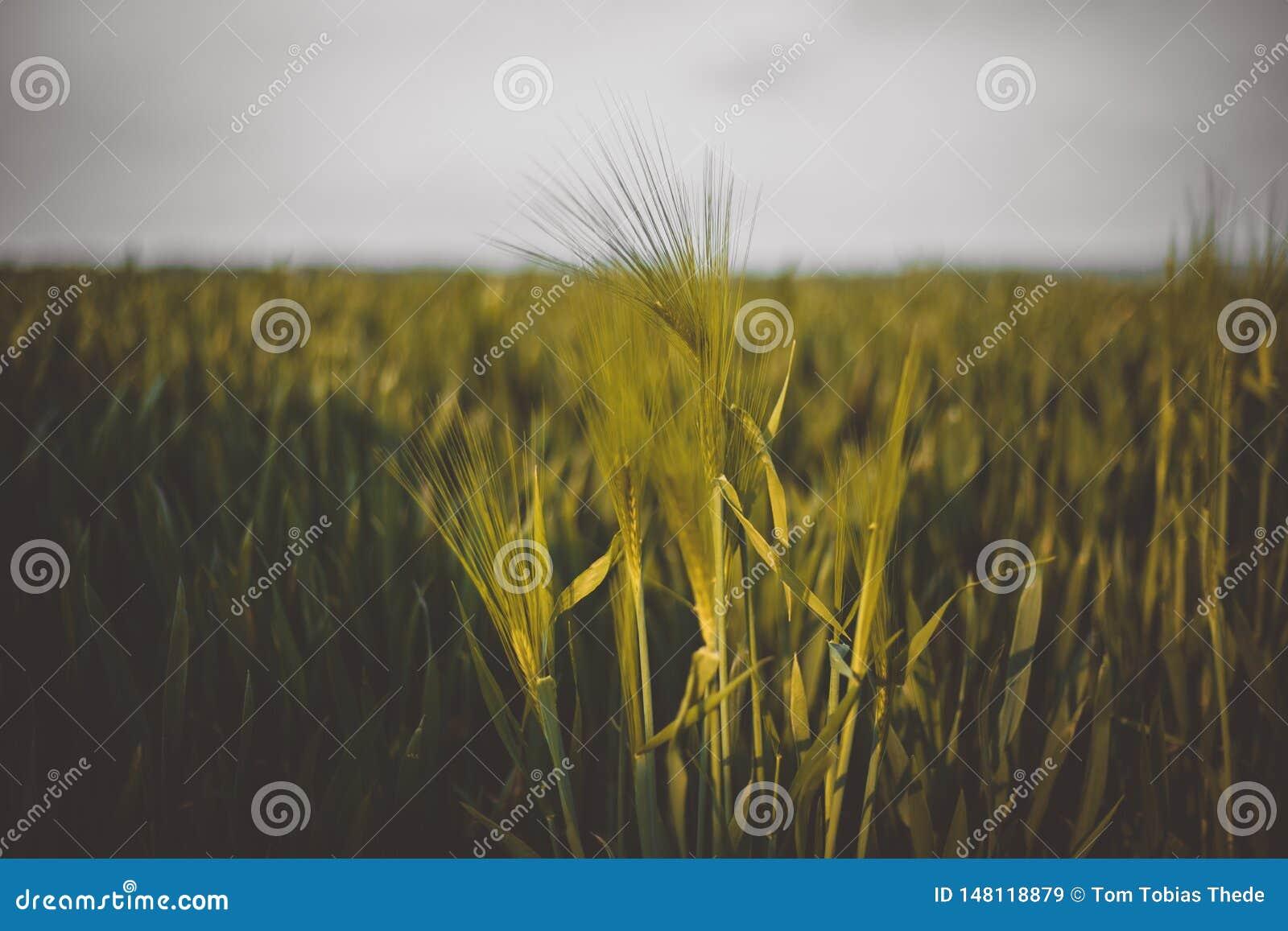 夏天农田背景用大麦