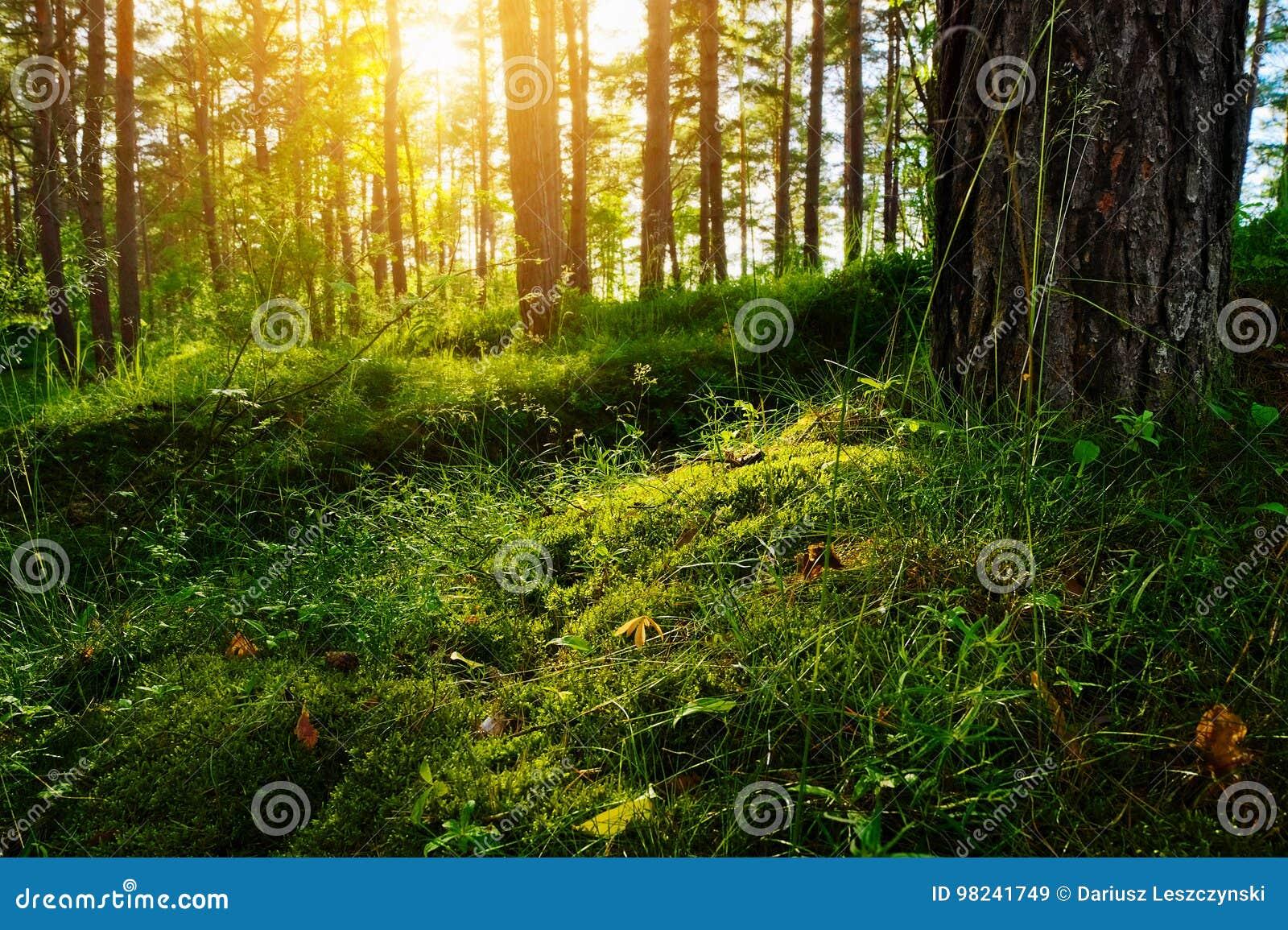 夏天森林下木植被 草、灌木和太阳由后照的青苔生长在松林的understory或草丛