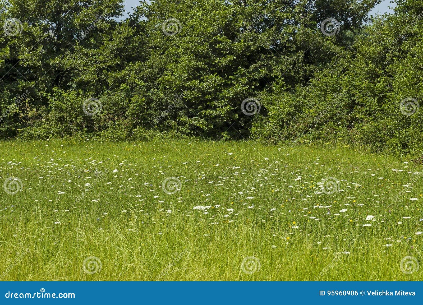 夏天自然美好的风景与沼地、芬芳开花野花和森林,中央巴尔干山, Stara Planina的