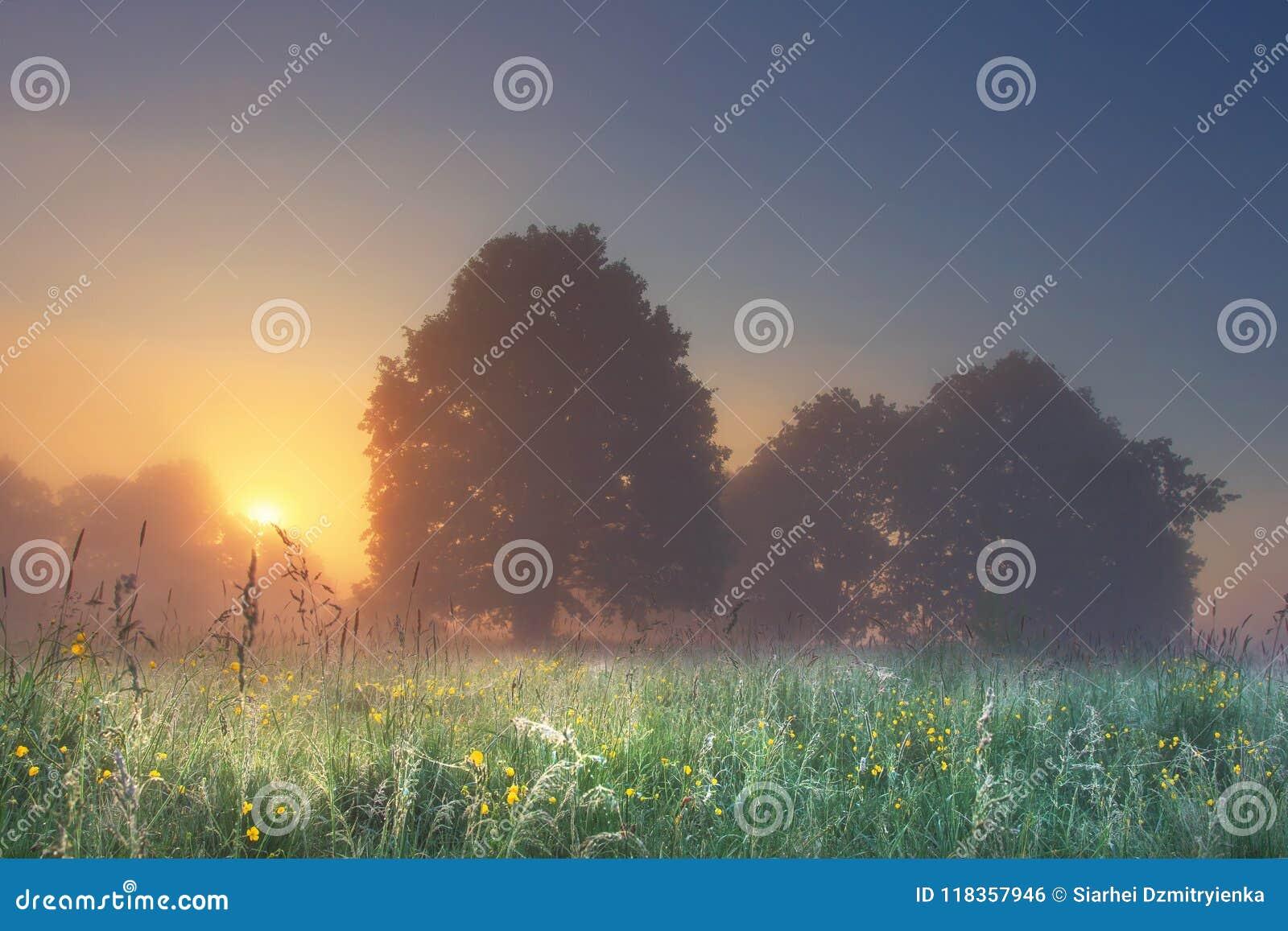 夏天草甸惊人的完善的风景有树的在明亮的日出的有雾的早晨与在树后的温暖的阳光