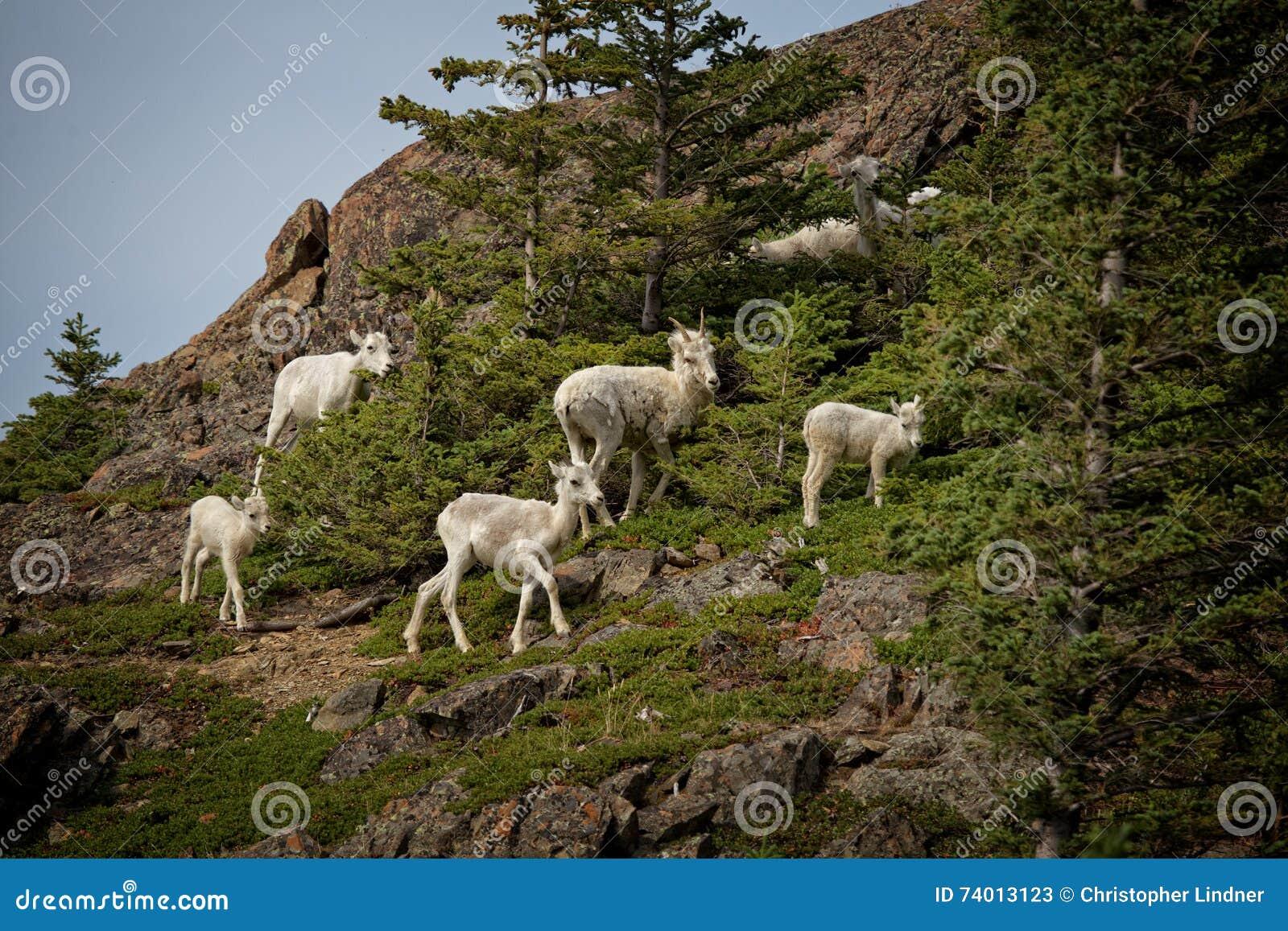 夏天野绵羊