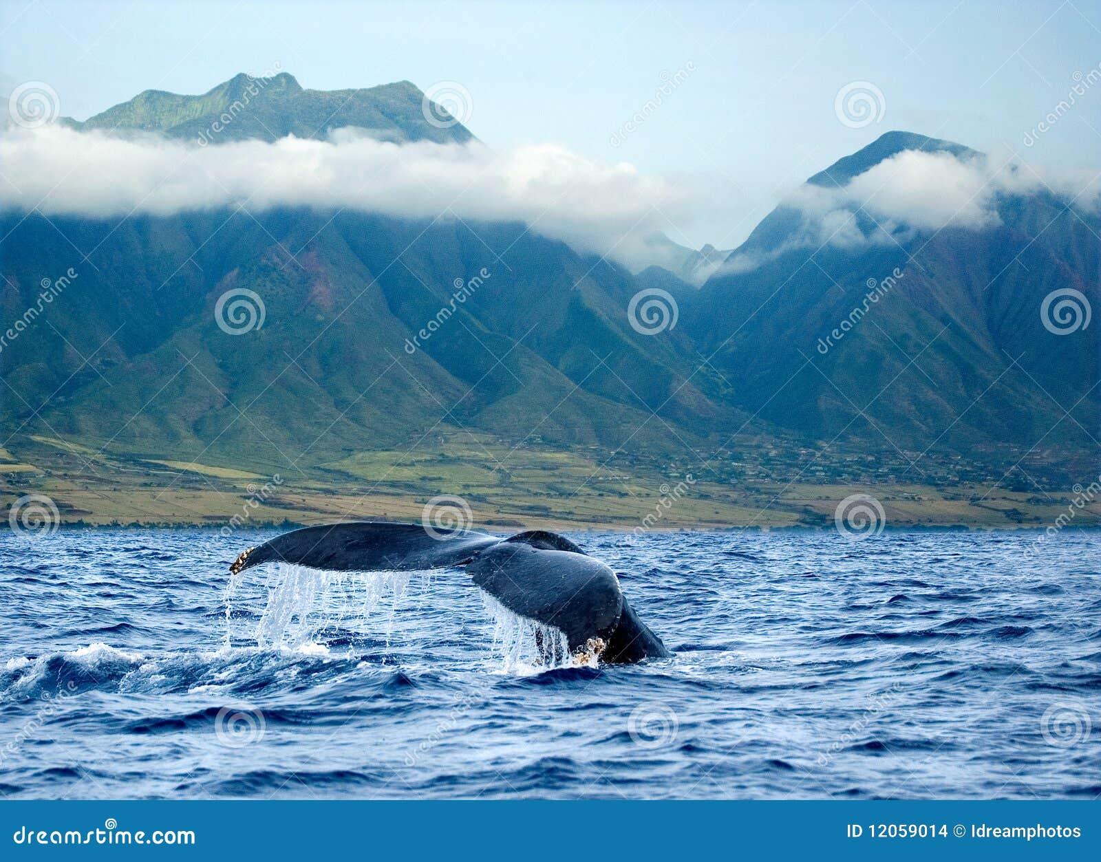 夏威夷毛伊尾标鲸鱼