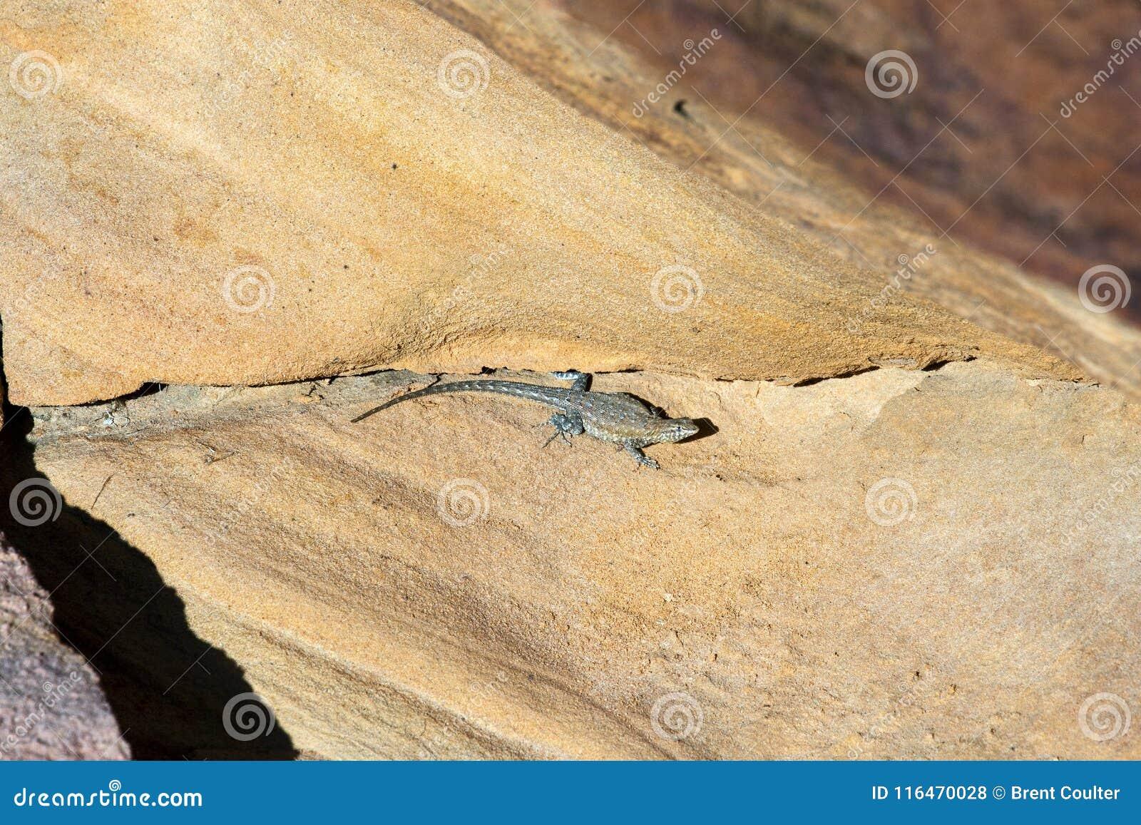 多刺沙漠的蜥蜴