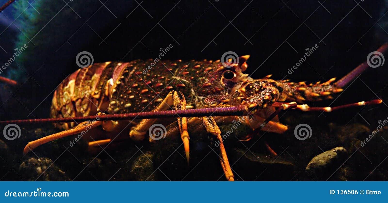 多刺龙虾的岩石