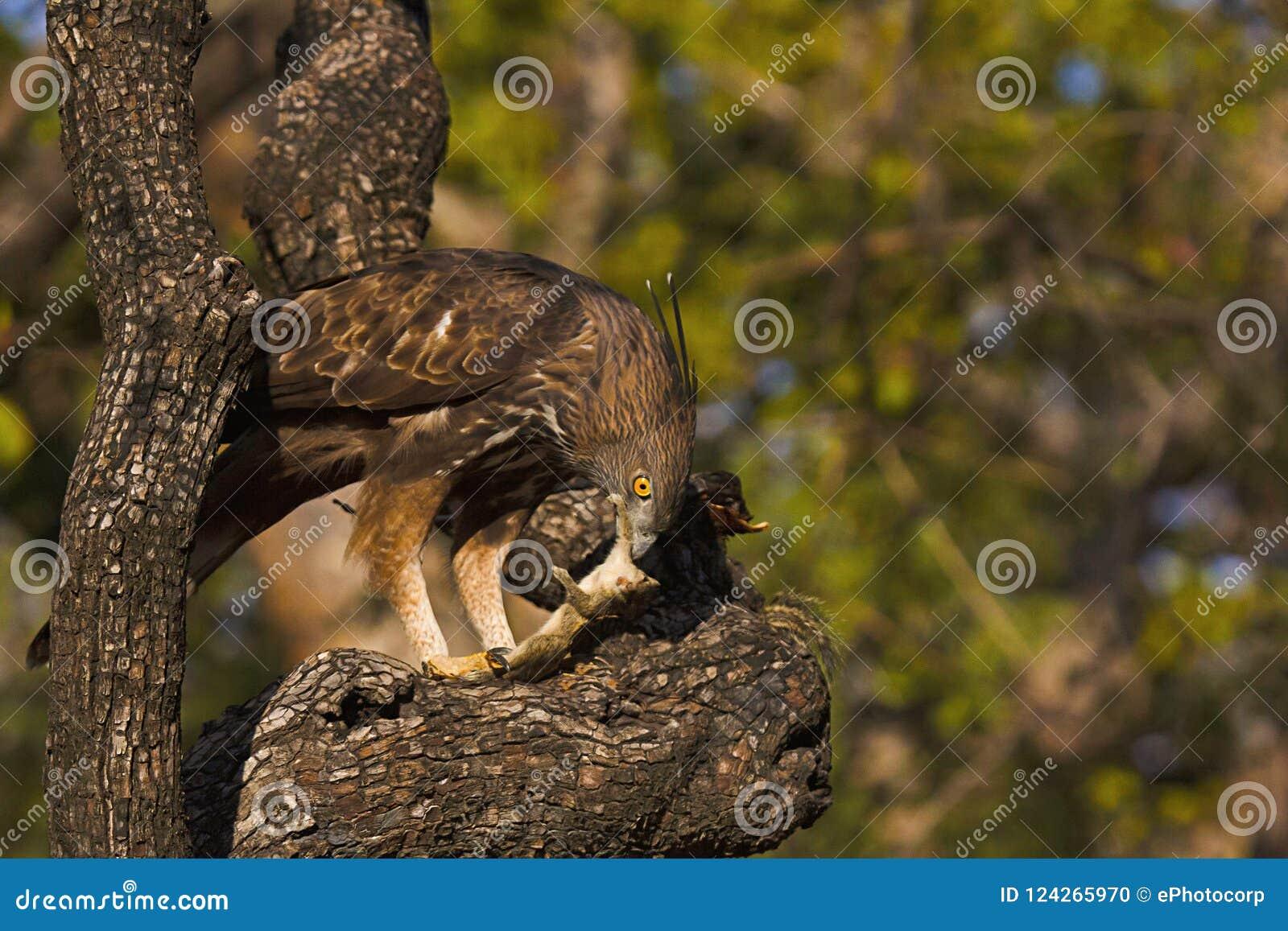 多变的鹰老鹰, Nisaetus cirrhatus,潘纳老虎储备,中央邦,印度
