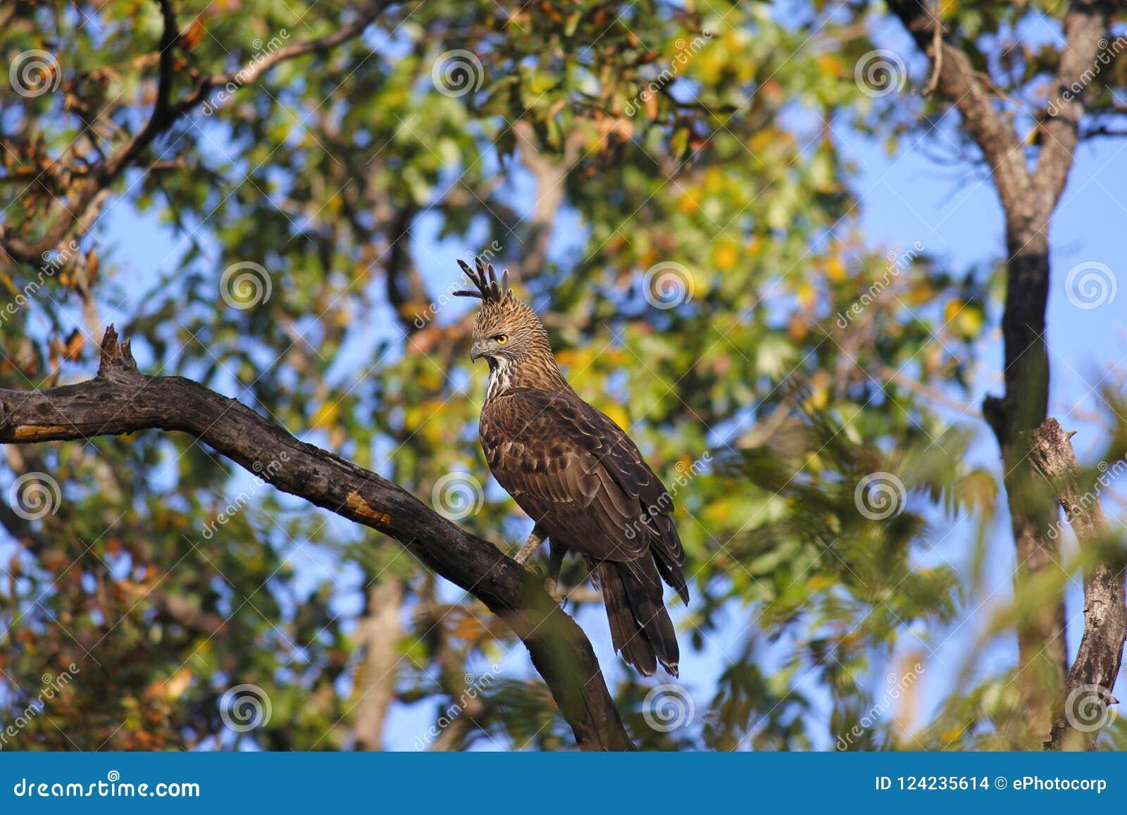 多变的鹰老鹰, Nisaetus cirrhatus 有顶饰鹰老鹰 Kanha老虎储备,中央邦,印度