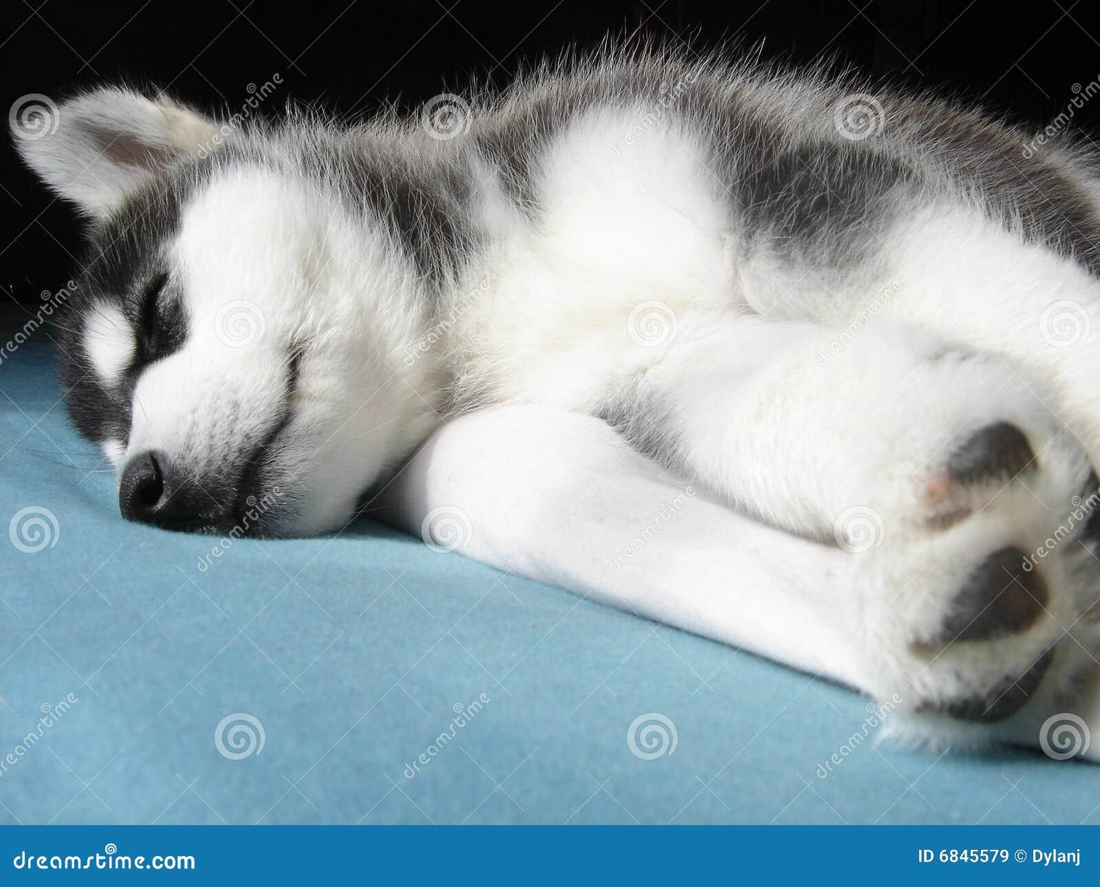 多壳小狗休眠