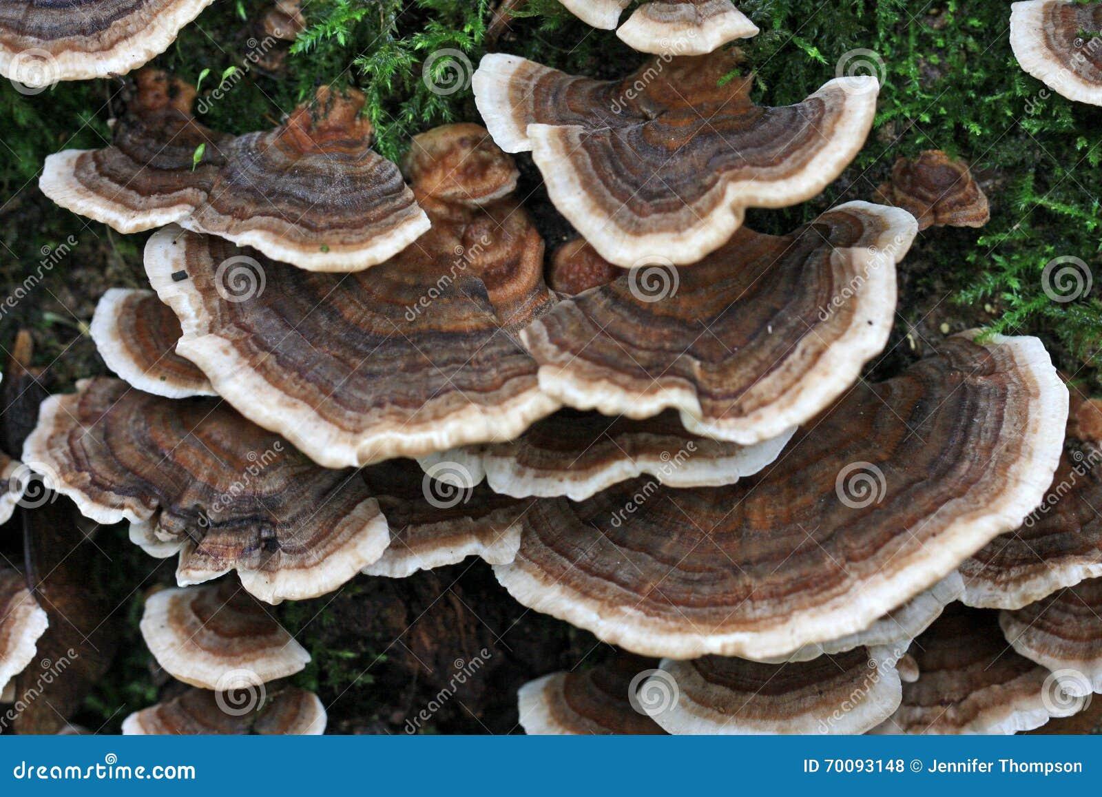 多孔菌 - Polypore - JapaneseCl...