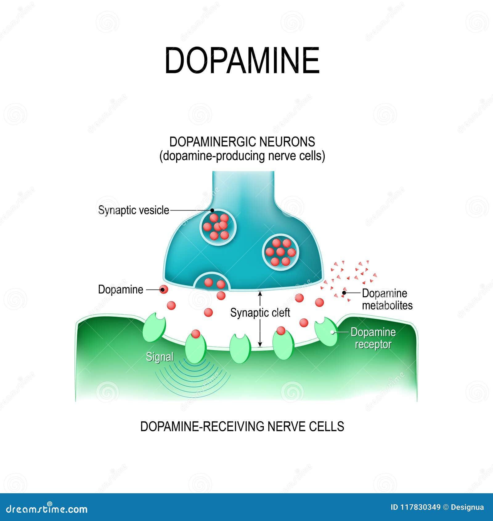 多巴胺 有感受器官的两个神经元和与d的突触神经的裂缝