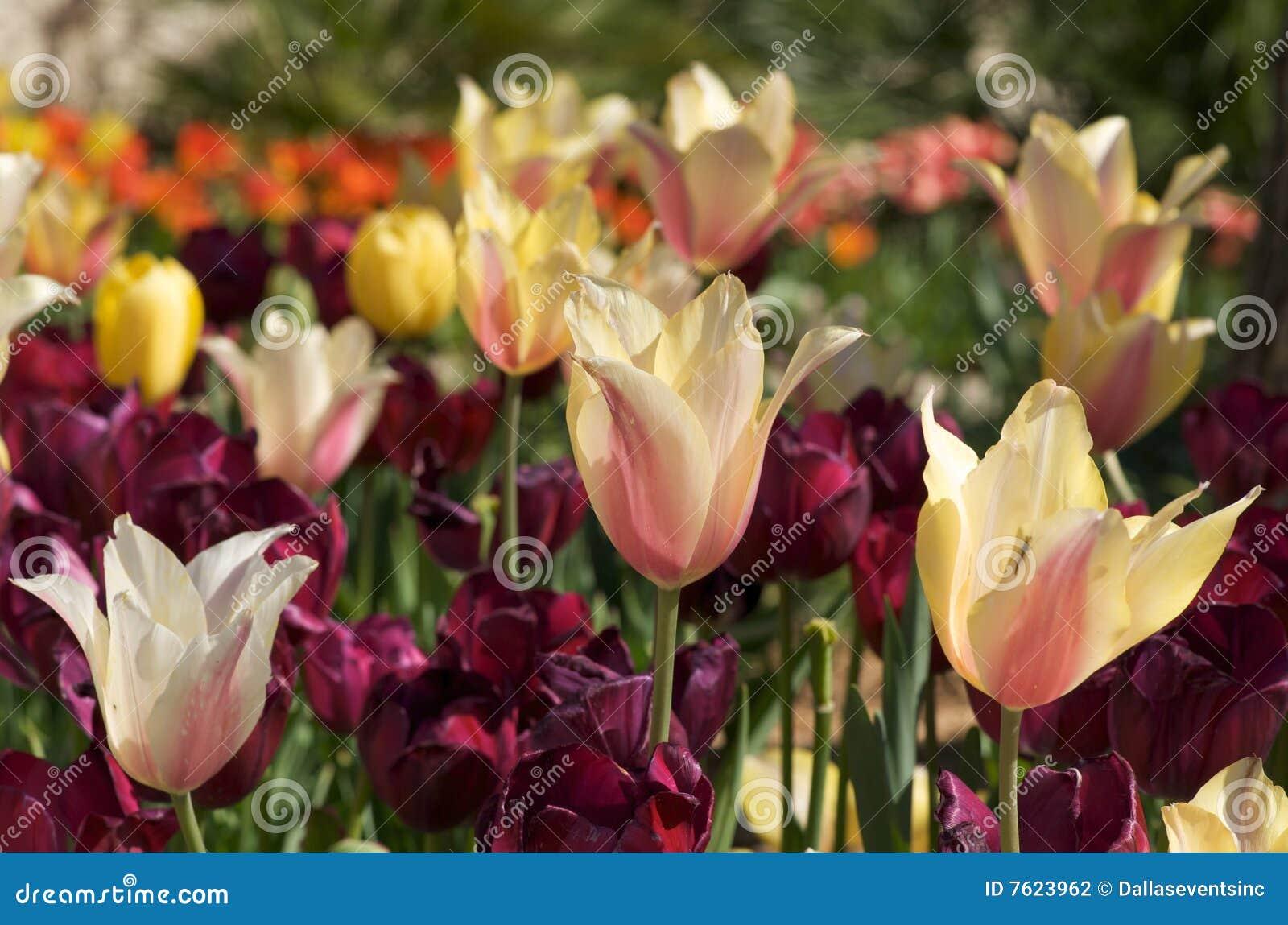 多彩多姿的阳光郁金香