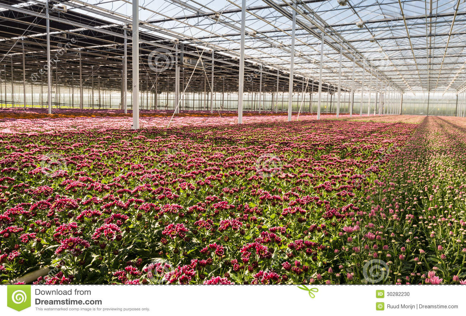 五颜六色的菊花在花托儿所