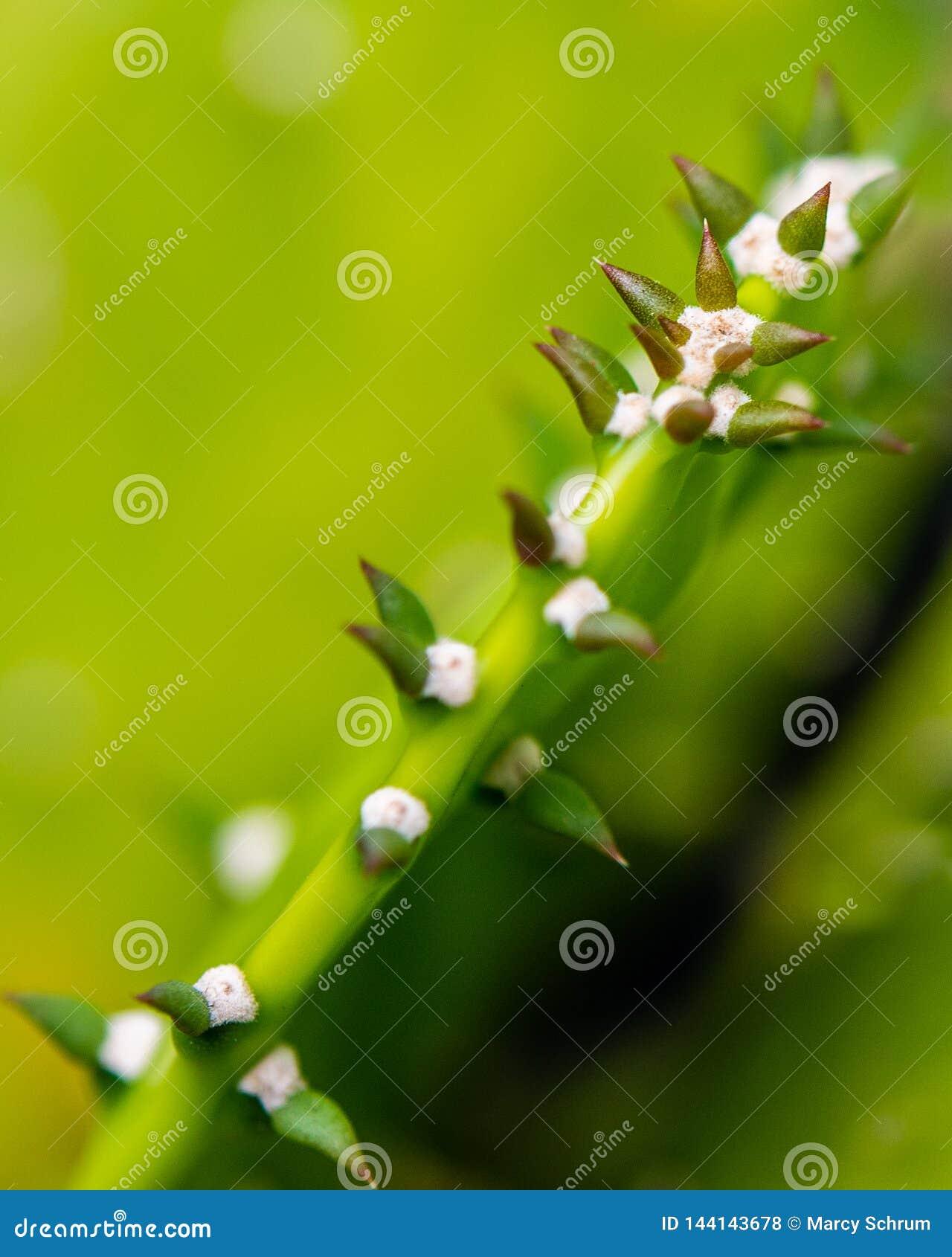 多汁植物宏观边看法与多刺的小块的